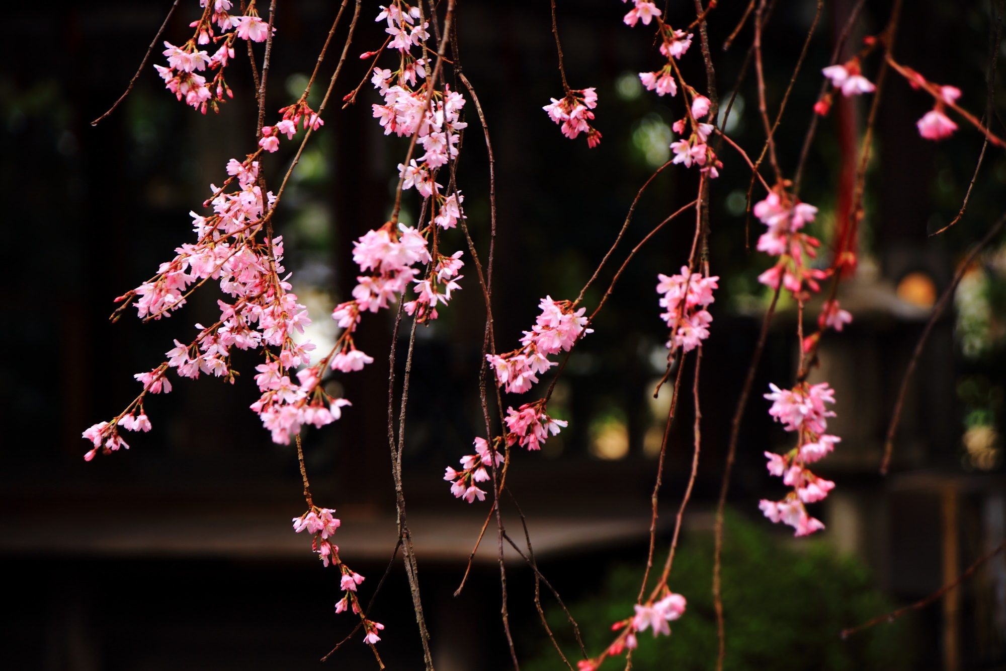 水火天満宮の雨の中でしっとりとした色濃い美しい花