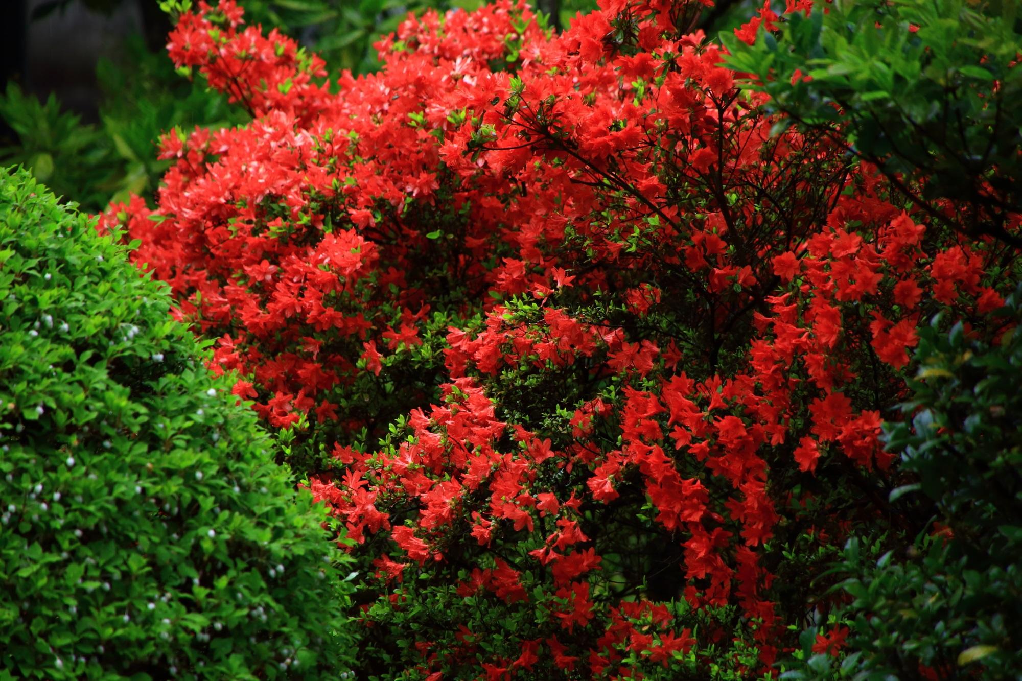 大心院の弾けんばかりに咲き誇る真っ赤なキリシマツツジ