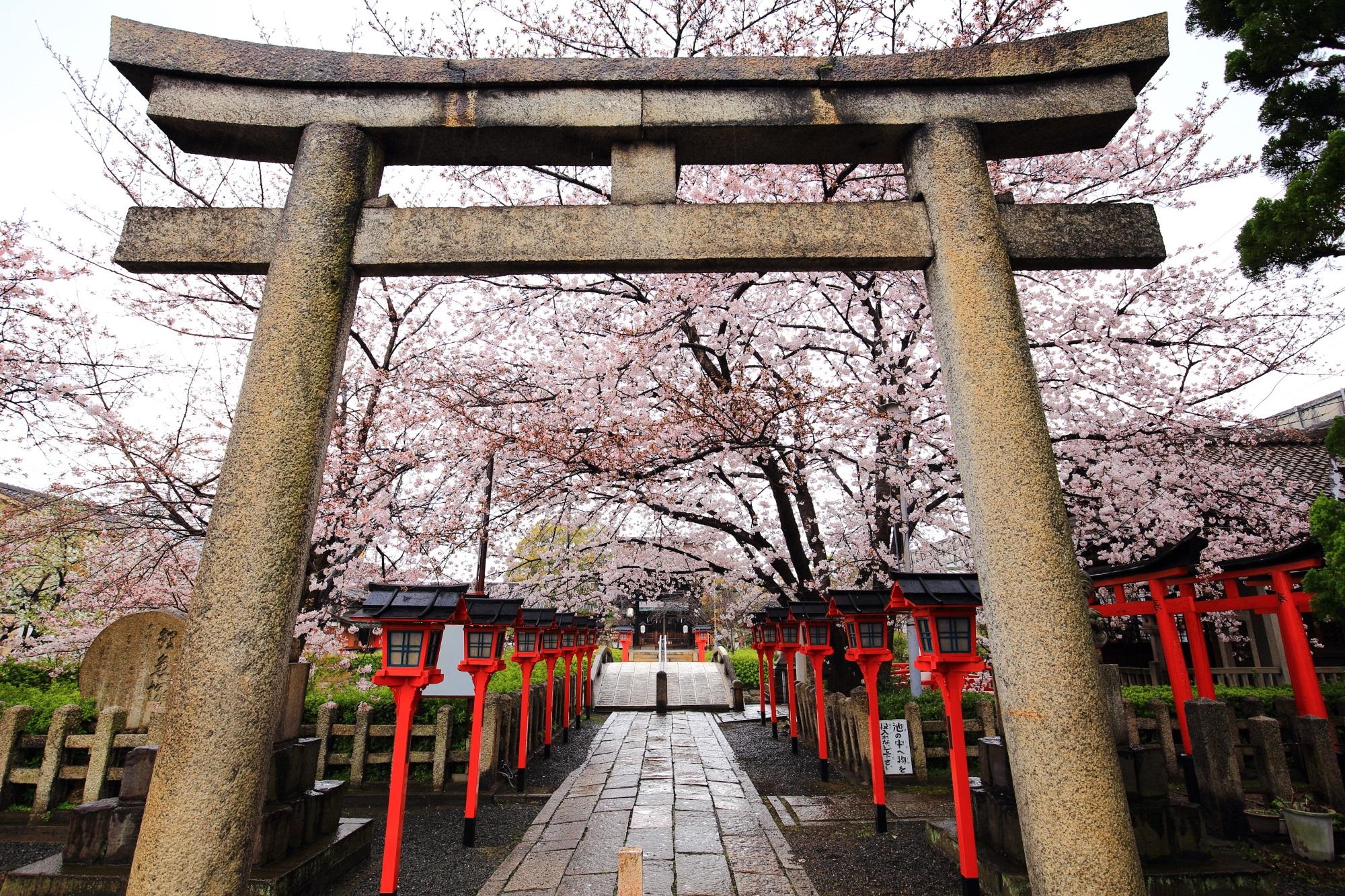 やはりこの眺めは青空で見たかった鳥居から広がる桜