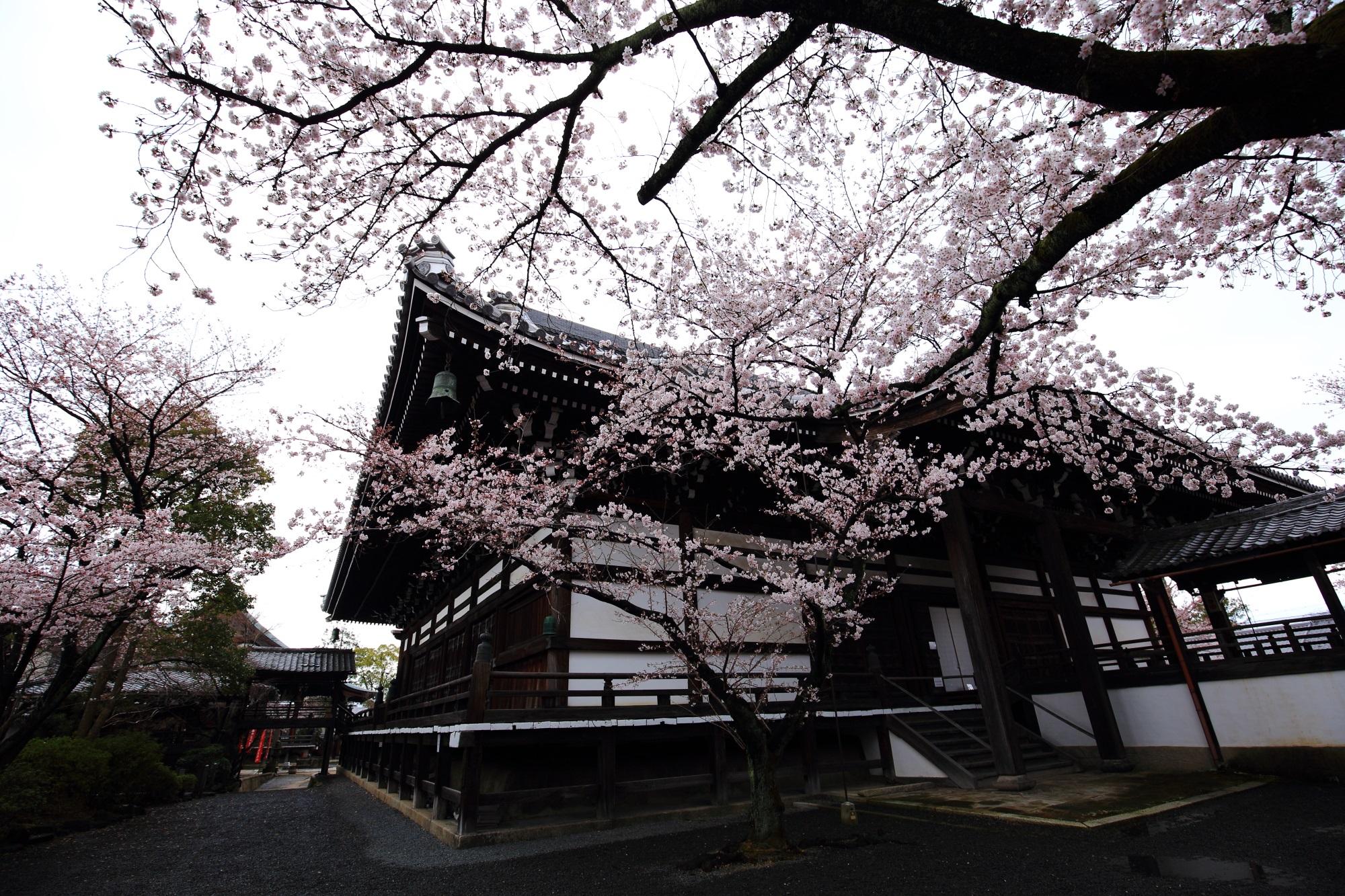 Kyoto Myokenji-Temple cherry blossoms