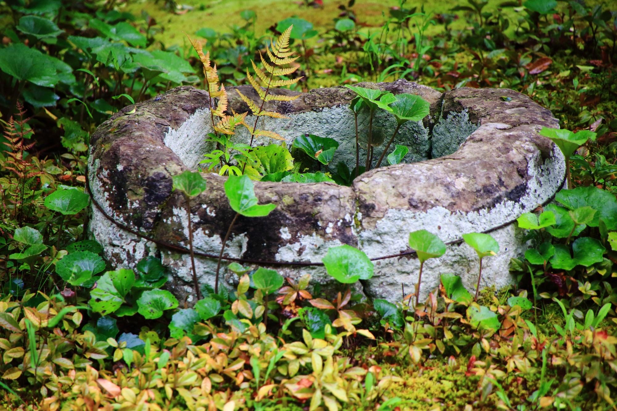 大心院の方丈前庭園で元気に育つ可愛い緑やシダ