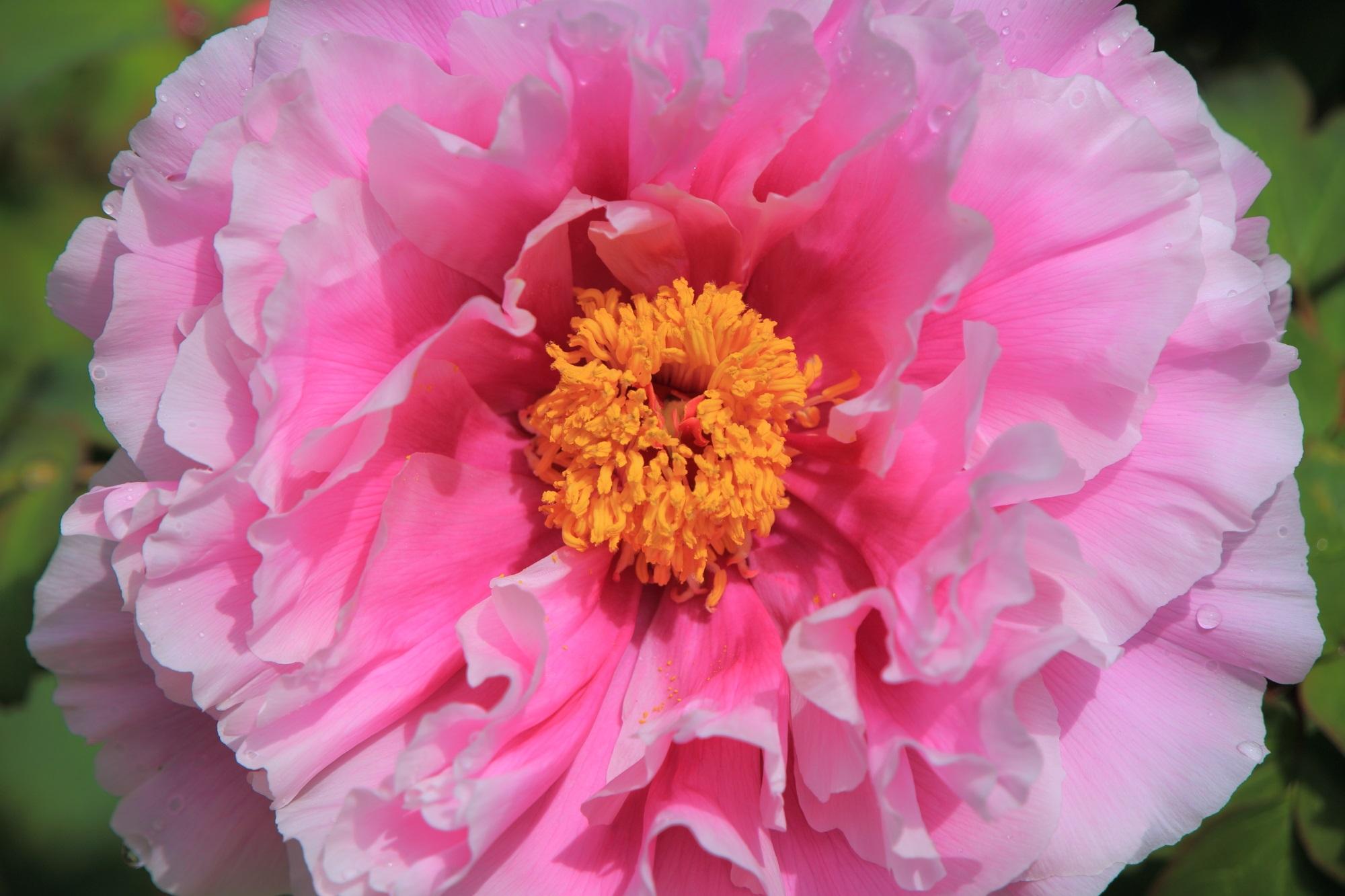 色だけでなく花びらにも様々な形や大きさがある牡丹の花