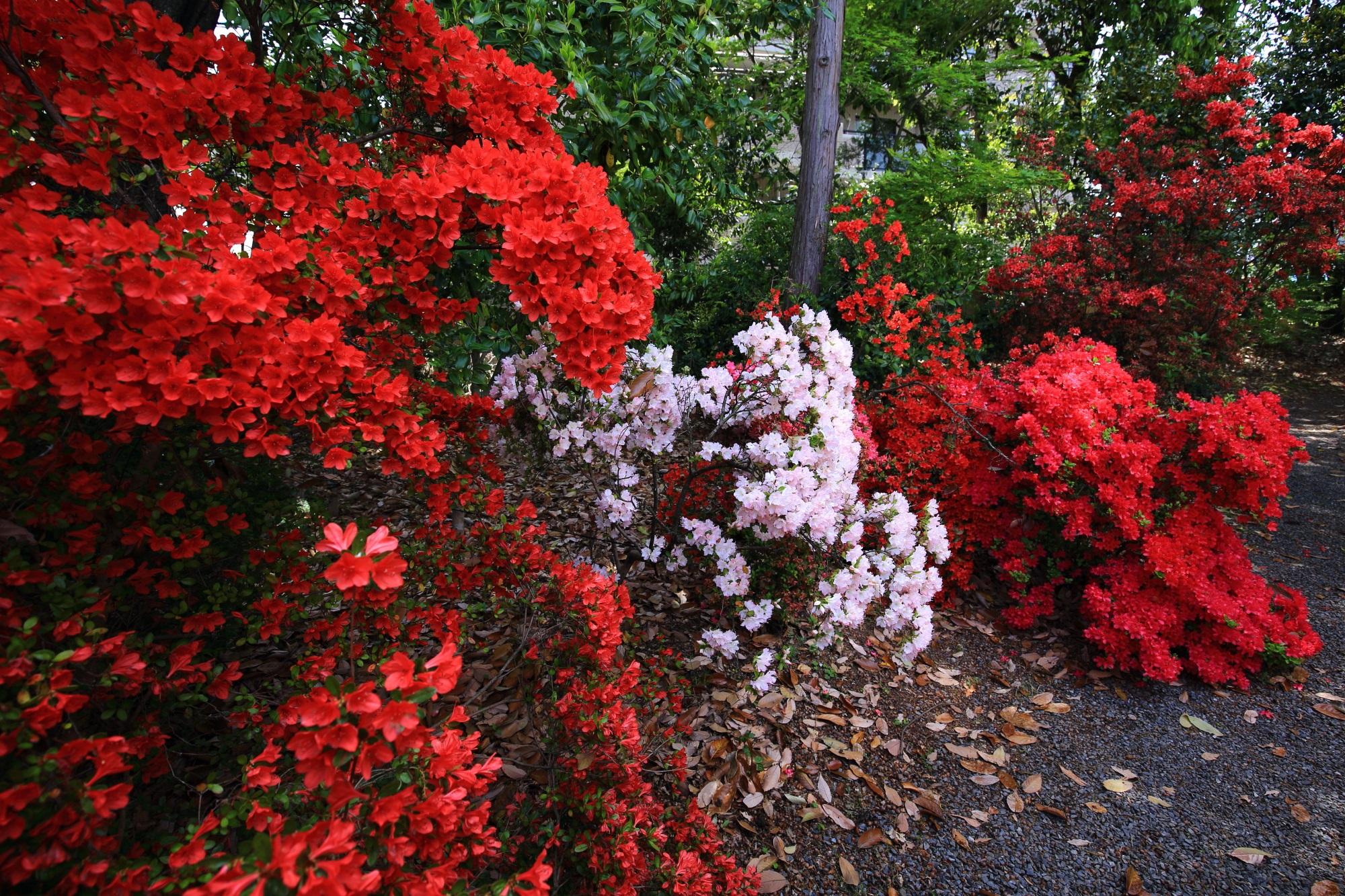 弾けんばかりに咲き誇る真っ赤なキリシマツツジと白いツツジ