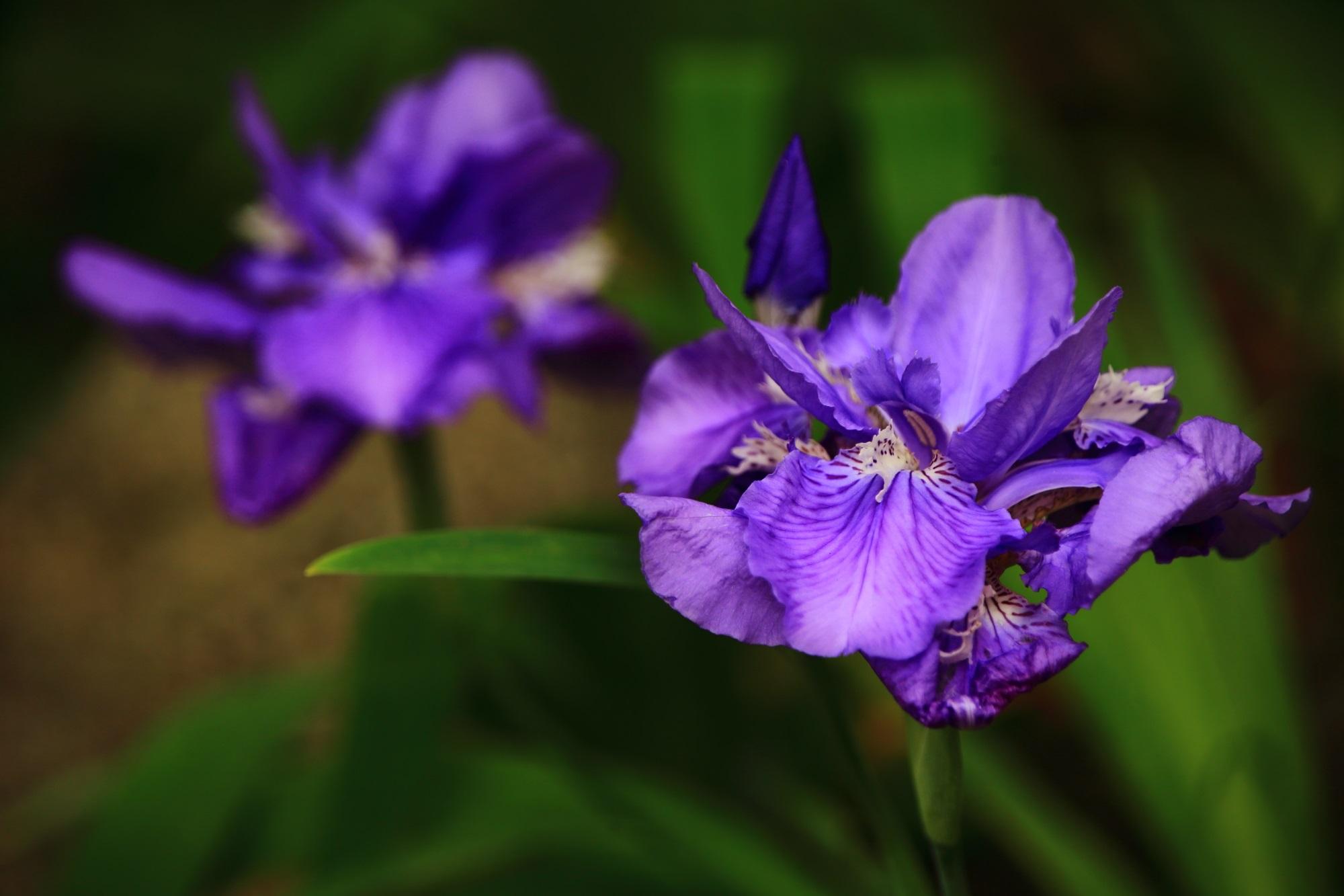 Kyoto Kamigoryo-jinja shrine iris