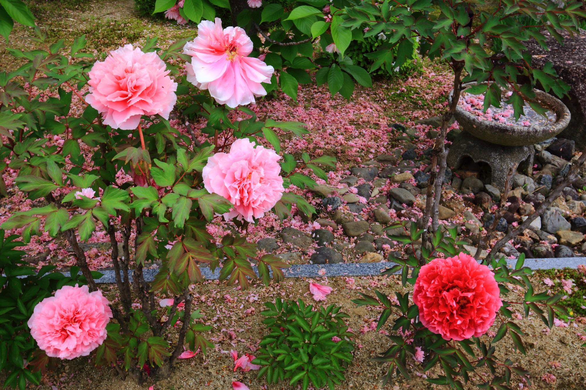 本満寺の牡丹かと散り桜