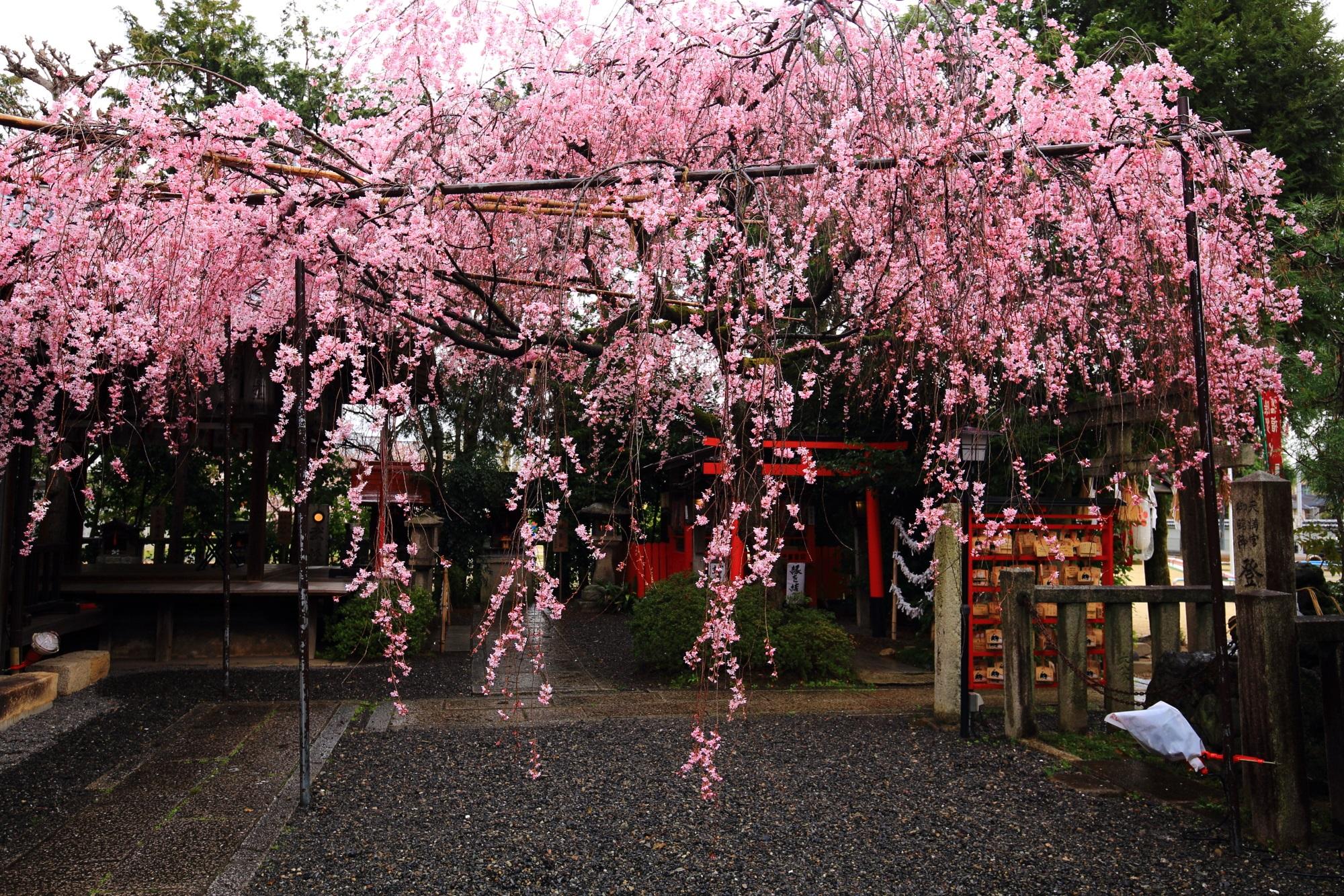 溢れんばかりの満開のしだれ桜