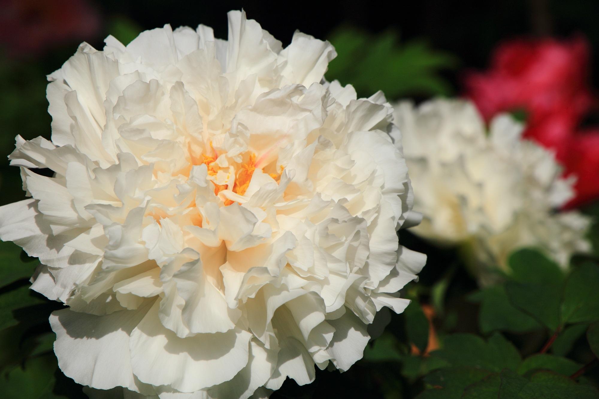 太陽を浴びて輝く白い牡丹の花