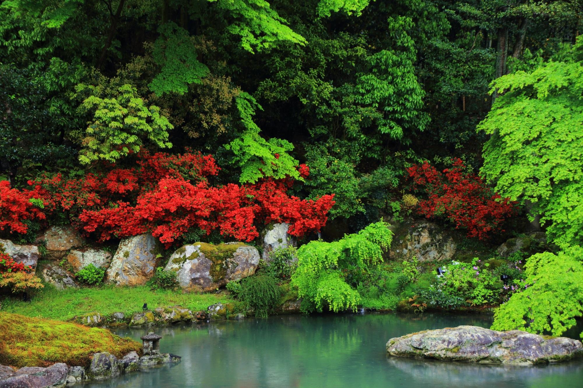 深い緑の中で煌く真っ赤なキリシマツツジ