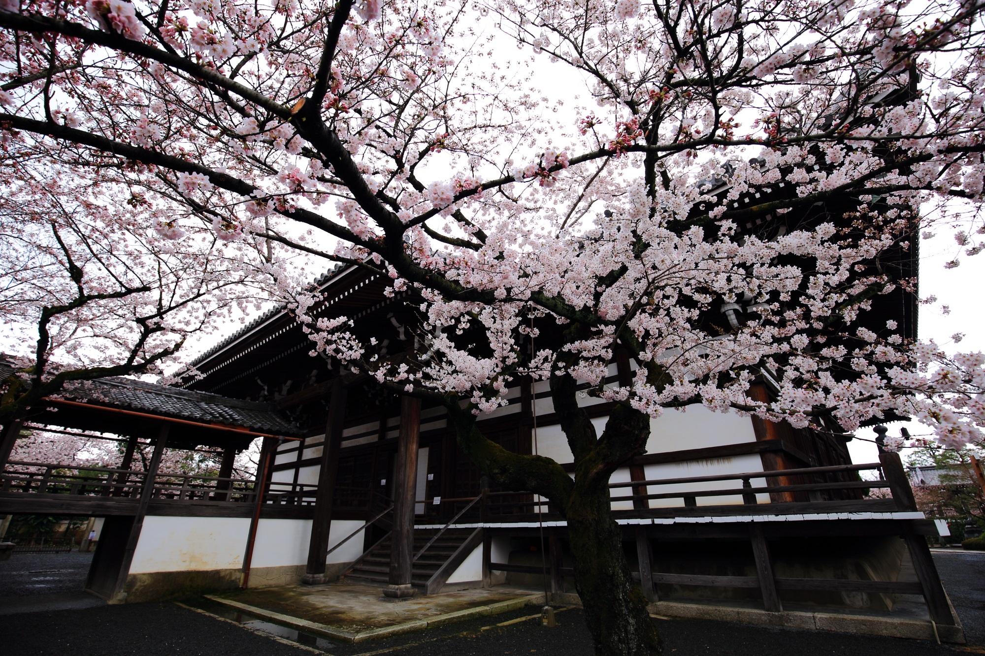 桜の穴場の妙顕寺(みょうけんじ)の満開の桜