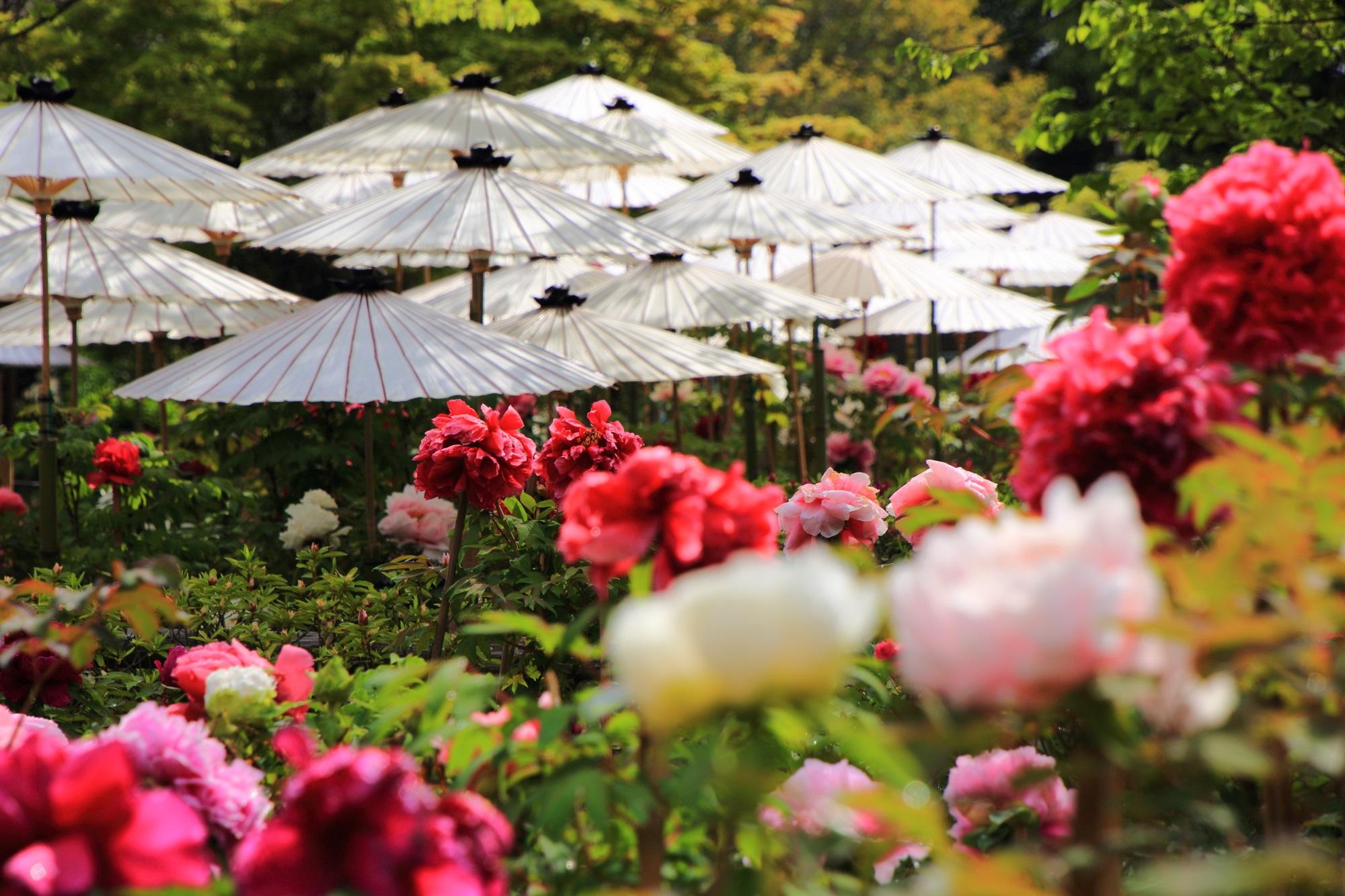 白い和傘の下で優雅に咲き誇るたくさんの牡丹