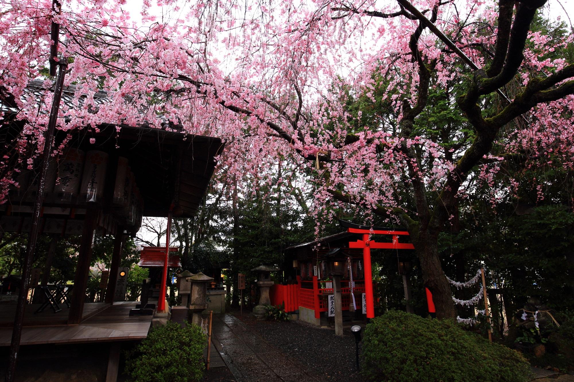 こんなに凄い桜があるのに誰もおらず貸切状態の水火天満宮