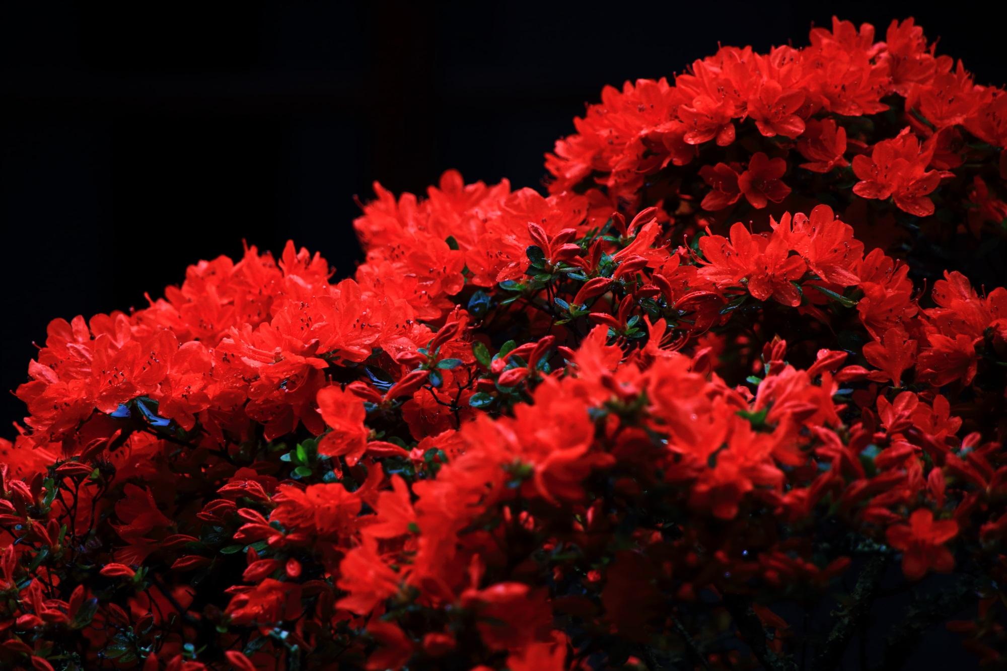 妙心寺大心院の古木だが生命力を感じる燃え上がるような真っ赤なキリシマツツジの花