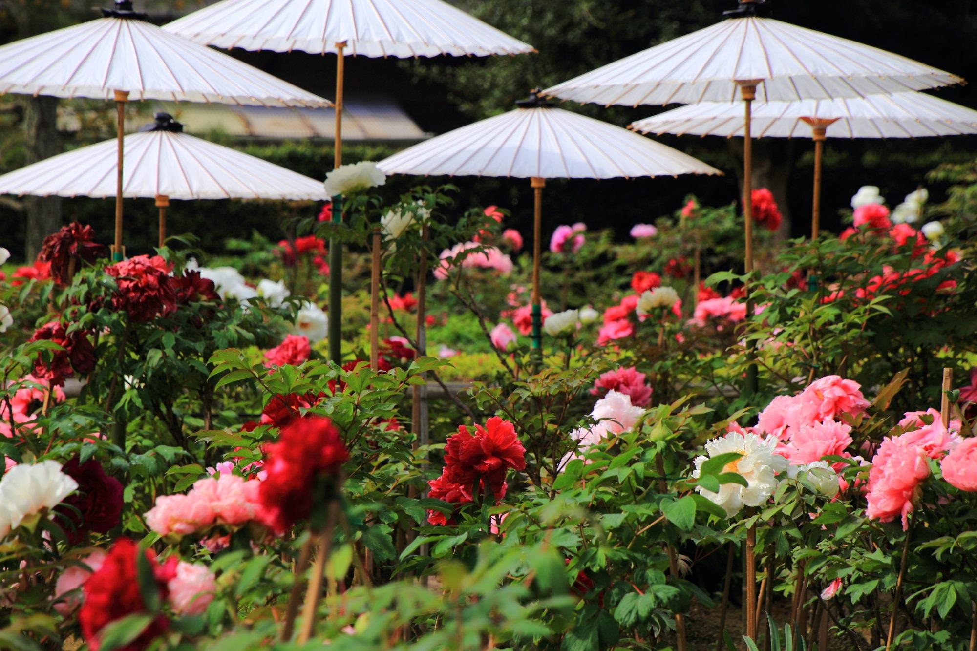 牡丹の美しさを引き立てる乙訓寺の和傘