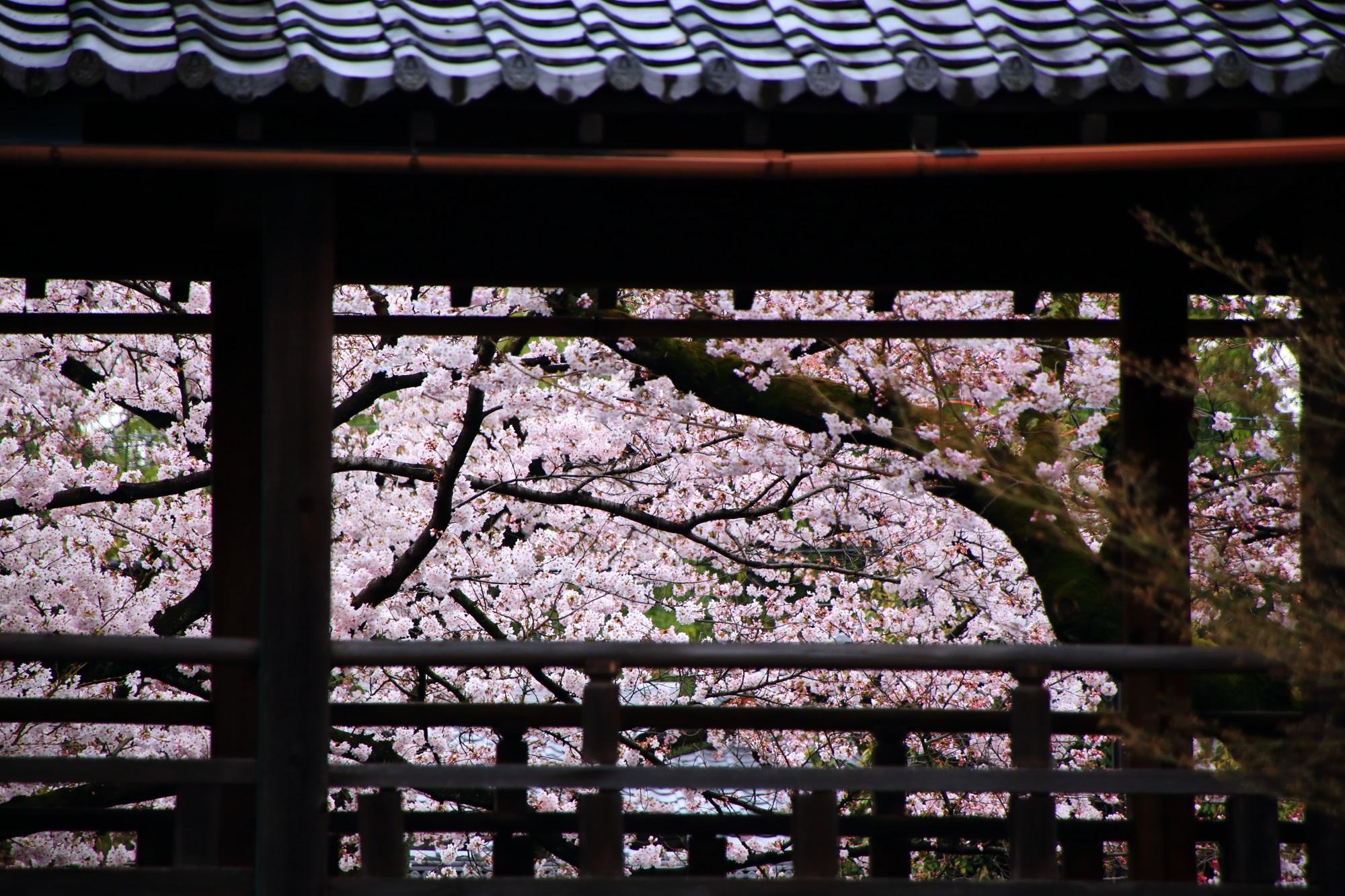 妙顕寺の回廊と満開の桜