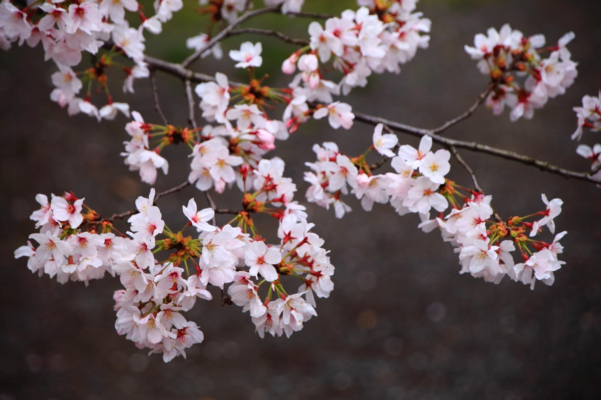 結構低い位置にも枝が伸びて地面をも春色に彩る桜