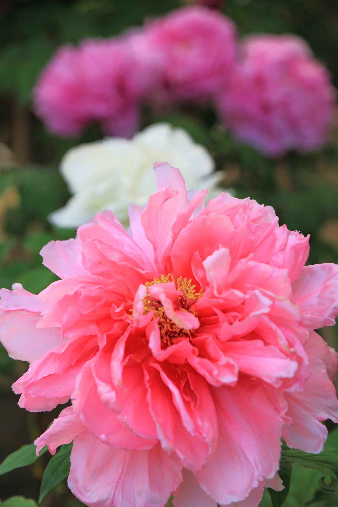 花びら一枚一枚は繊細な造りのボタンの花