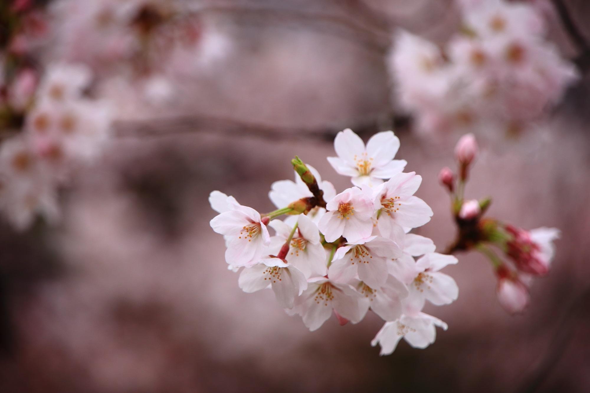 淡いピンクにつつまれる街中にある桜の穴場