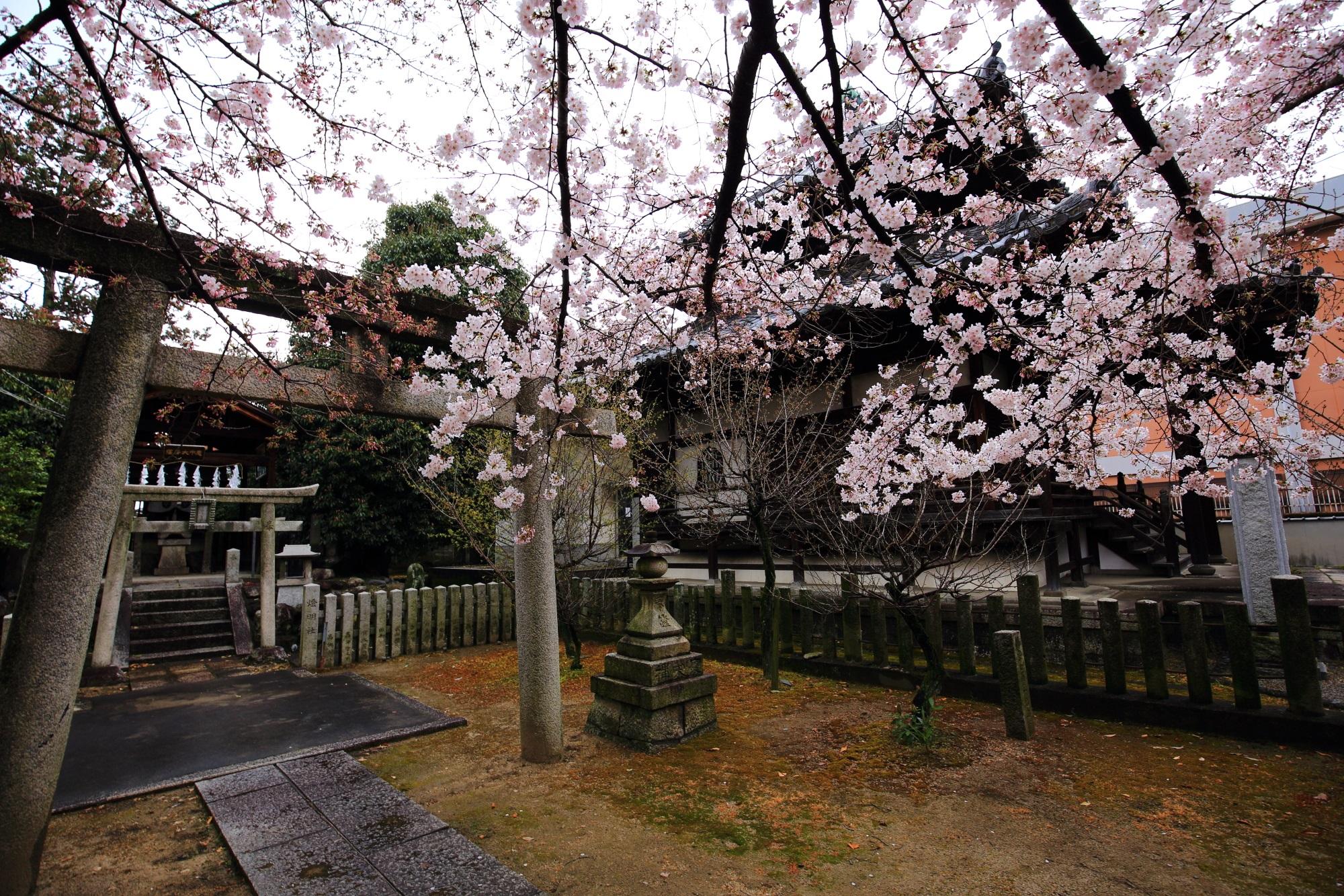 妙顕寺(みょうけんじ)の末社の華やかな桜