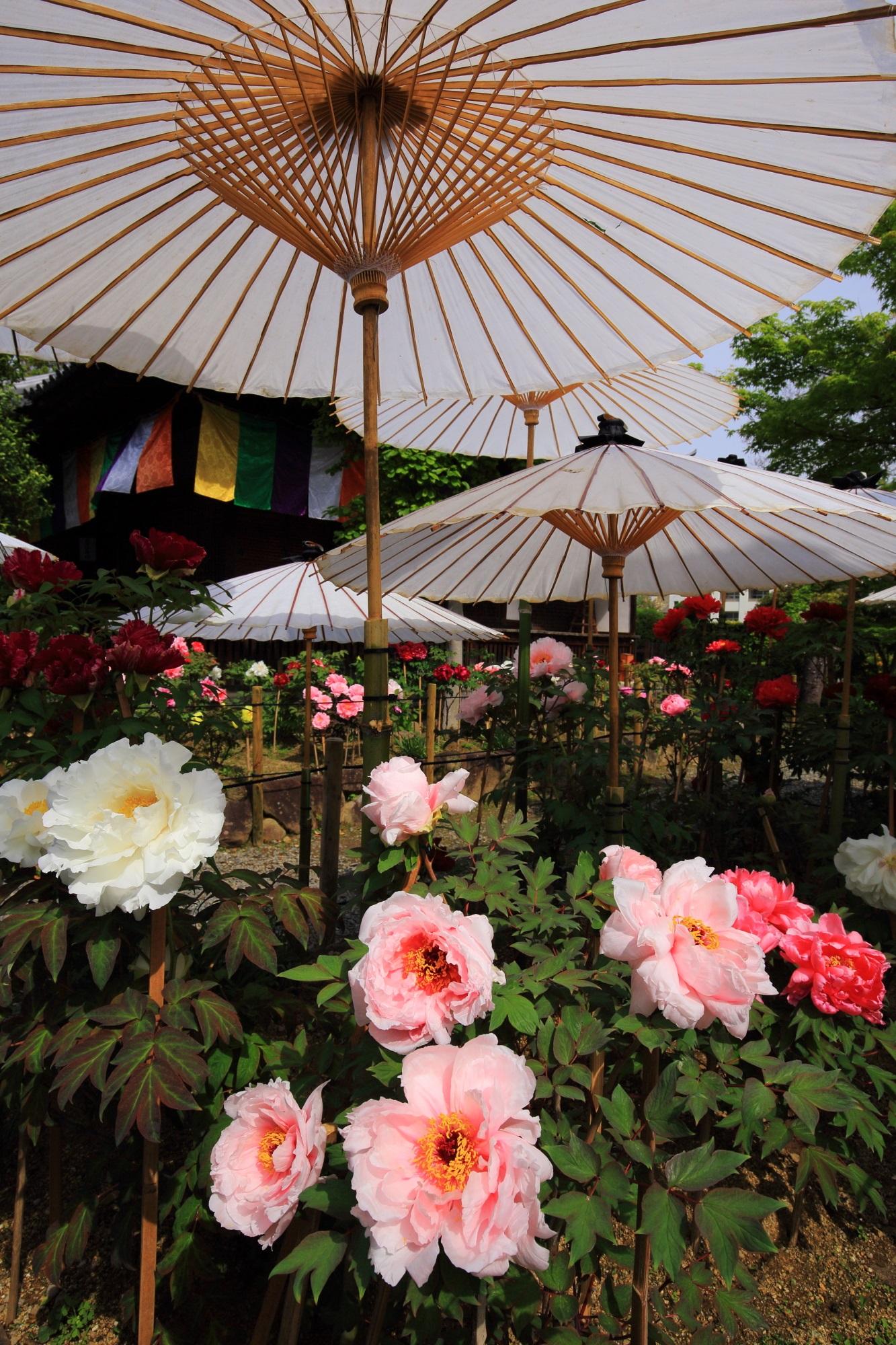 風情ある白い和傘の下で咲き誇るたくさんの牡丹の花