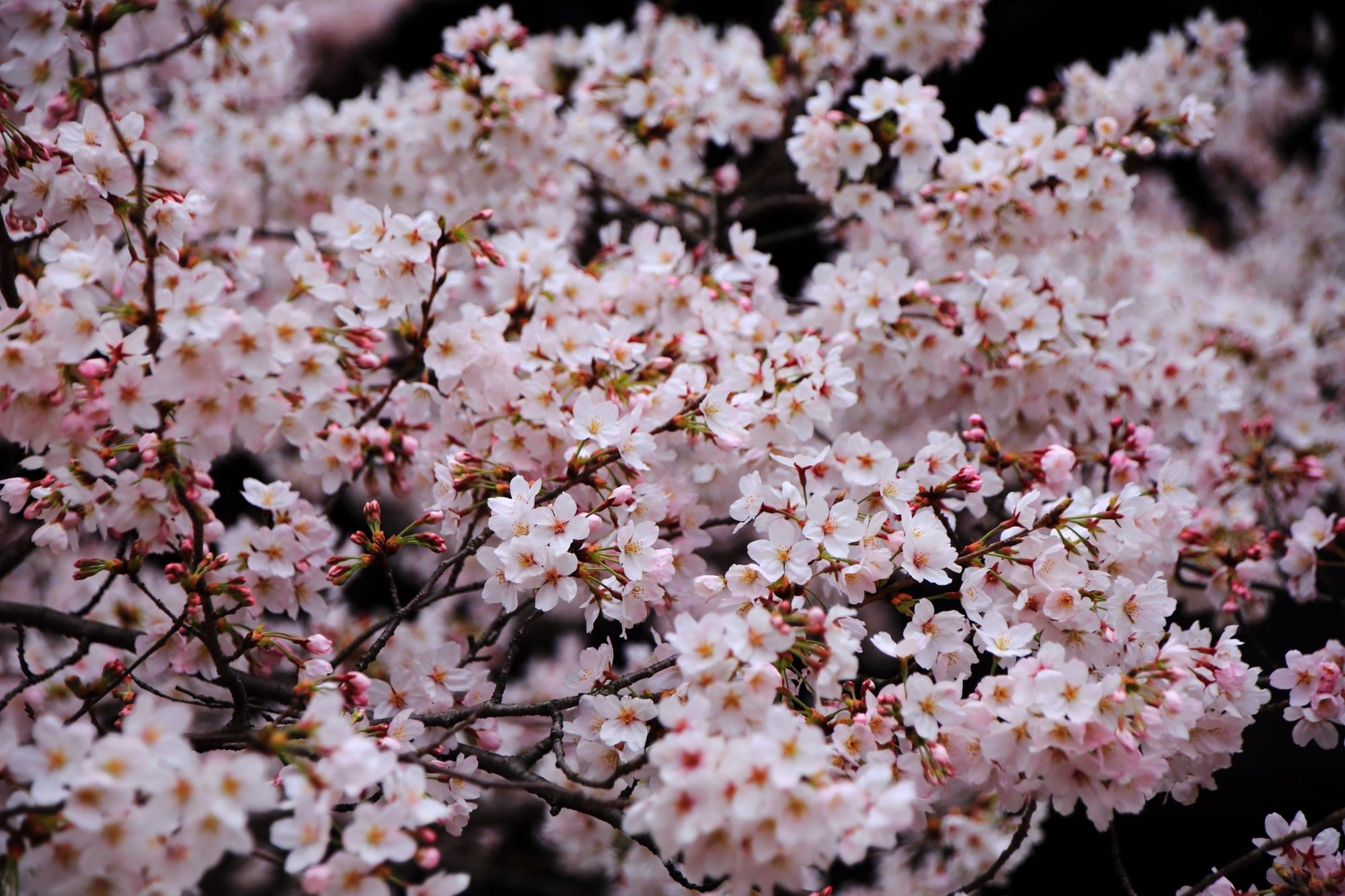 花が密集して咲きすぎの桜