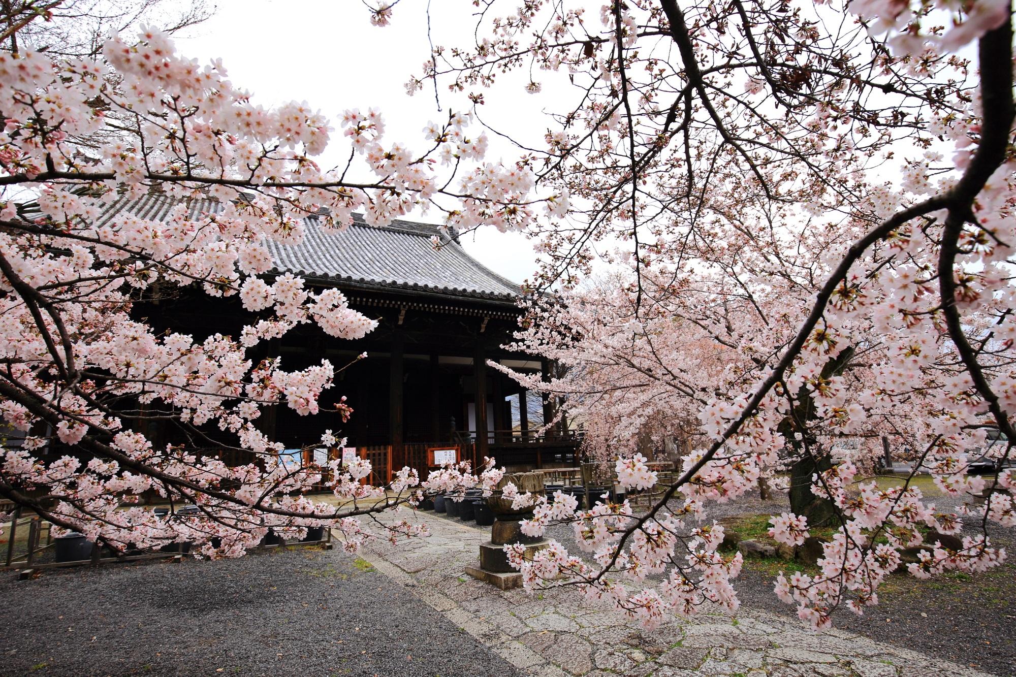 立派な伽藍に良く似合う立派な桜