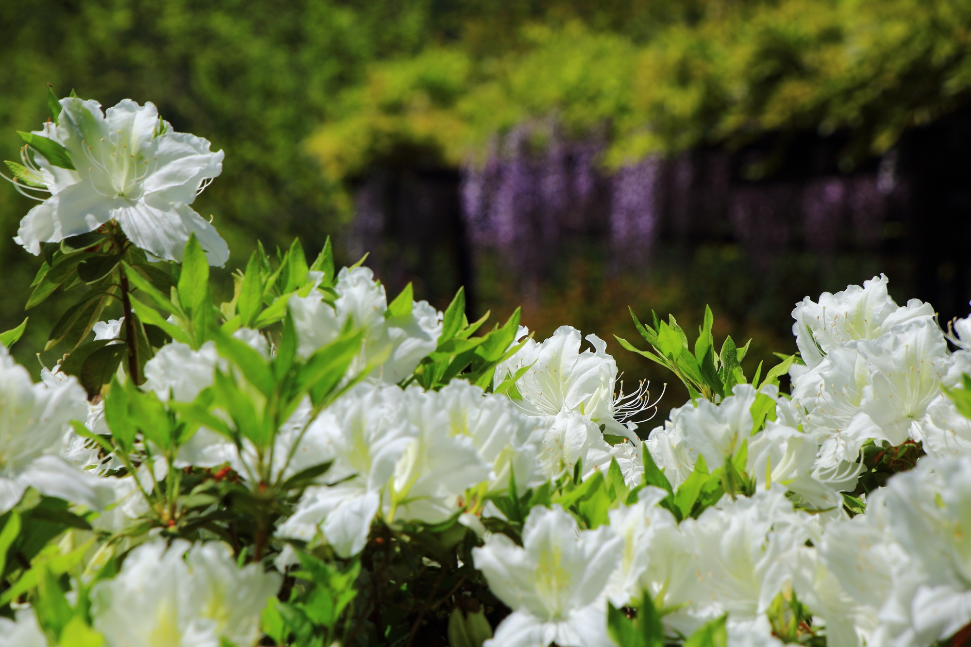 梅宮大社の爽やかな白いツツジの花と薄紫の藤の花
