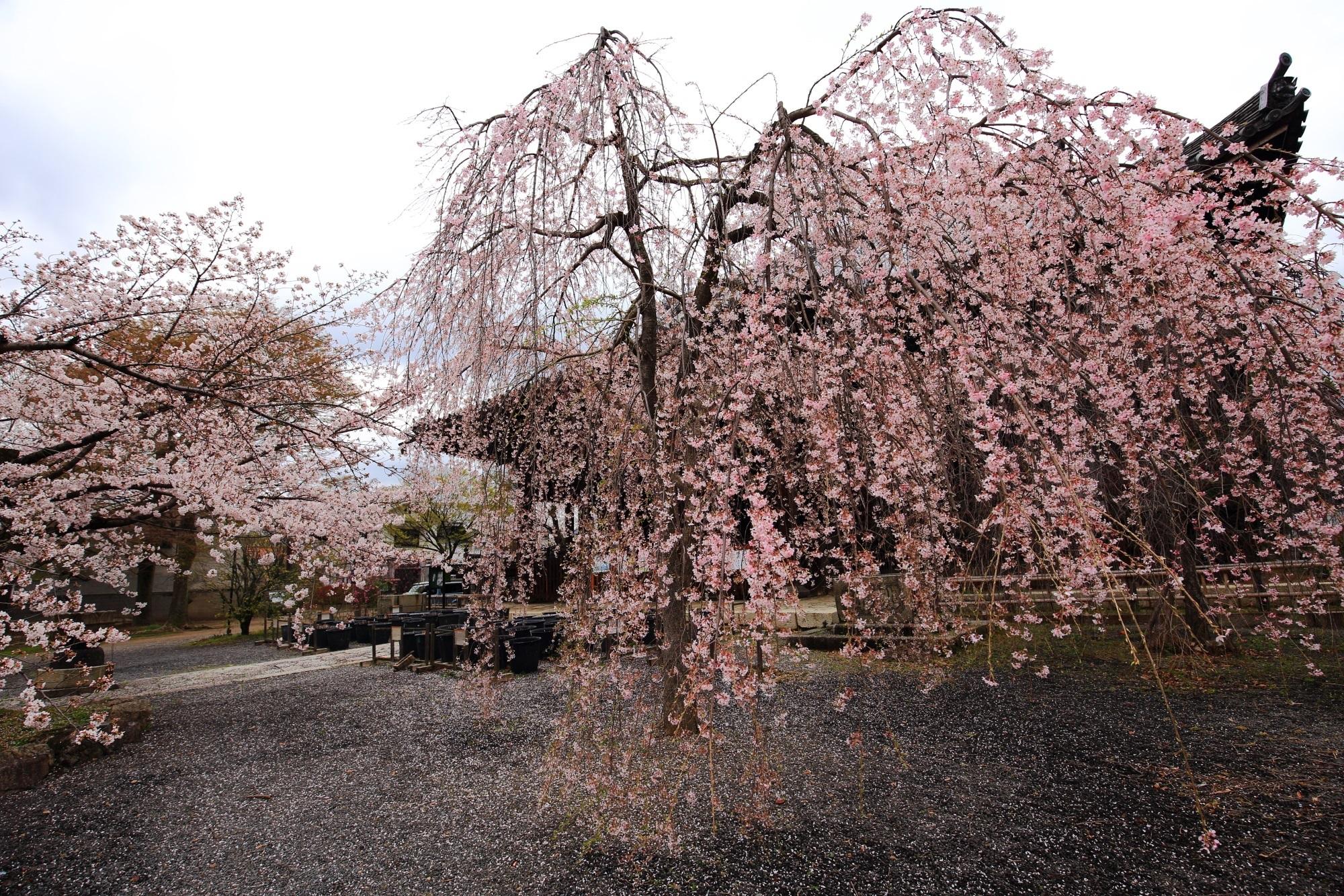 やや終盤に差し掛かかる見事なしだれ桜