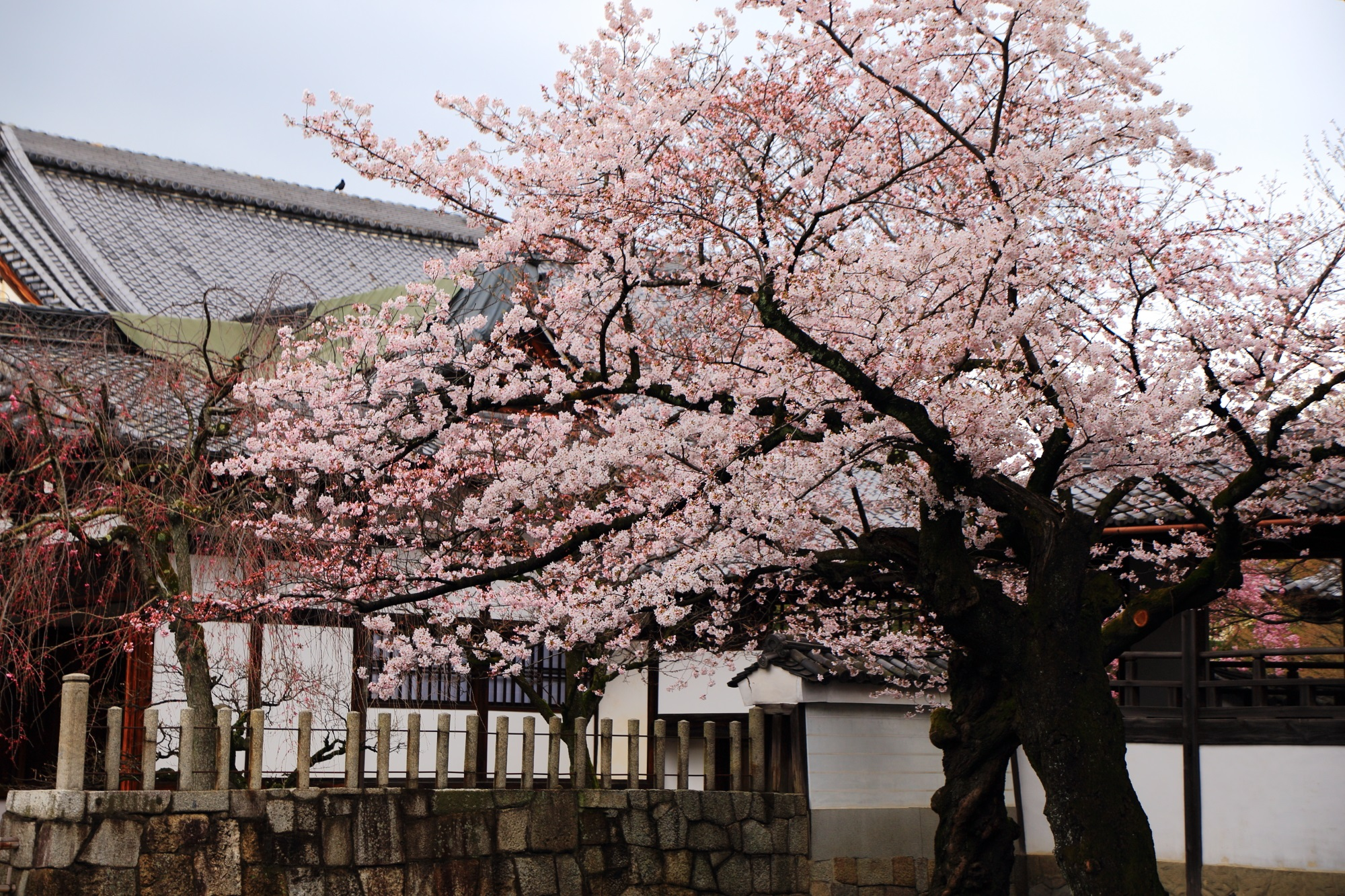 桜の名所の妙顕寺の豪快な桜
