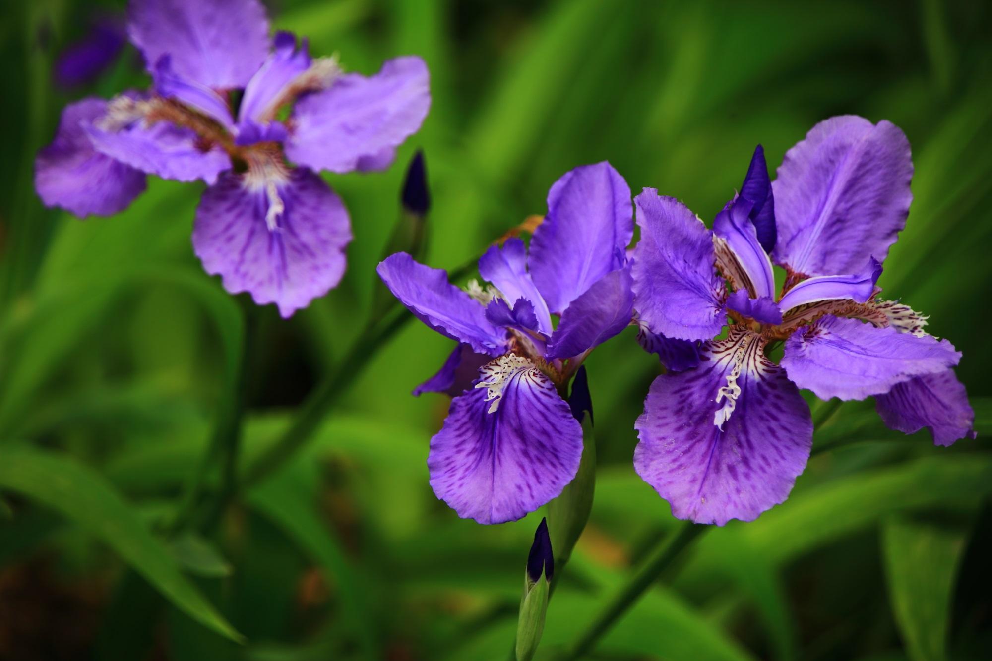 アヤメの中で一番早く咲くためイチハツと呼ばれる一初