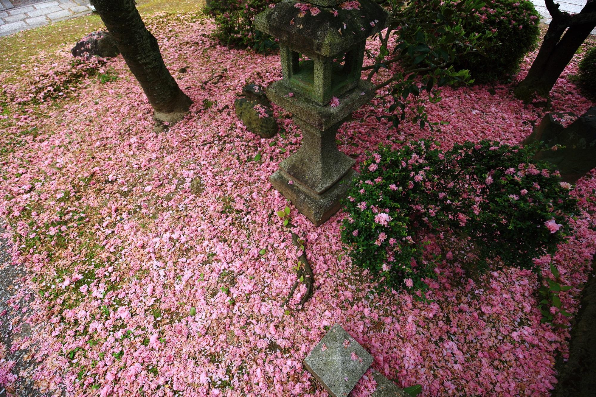かなりの花の量の本満寺の散り桜