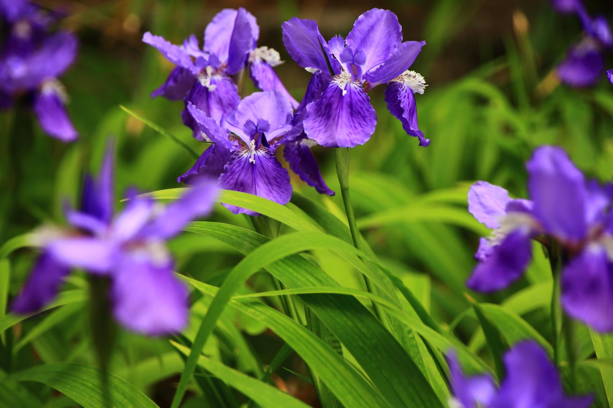 上御霊神社の緑に映える美しい紫のイチハツの花