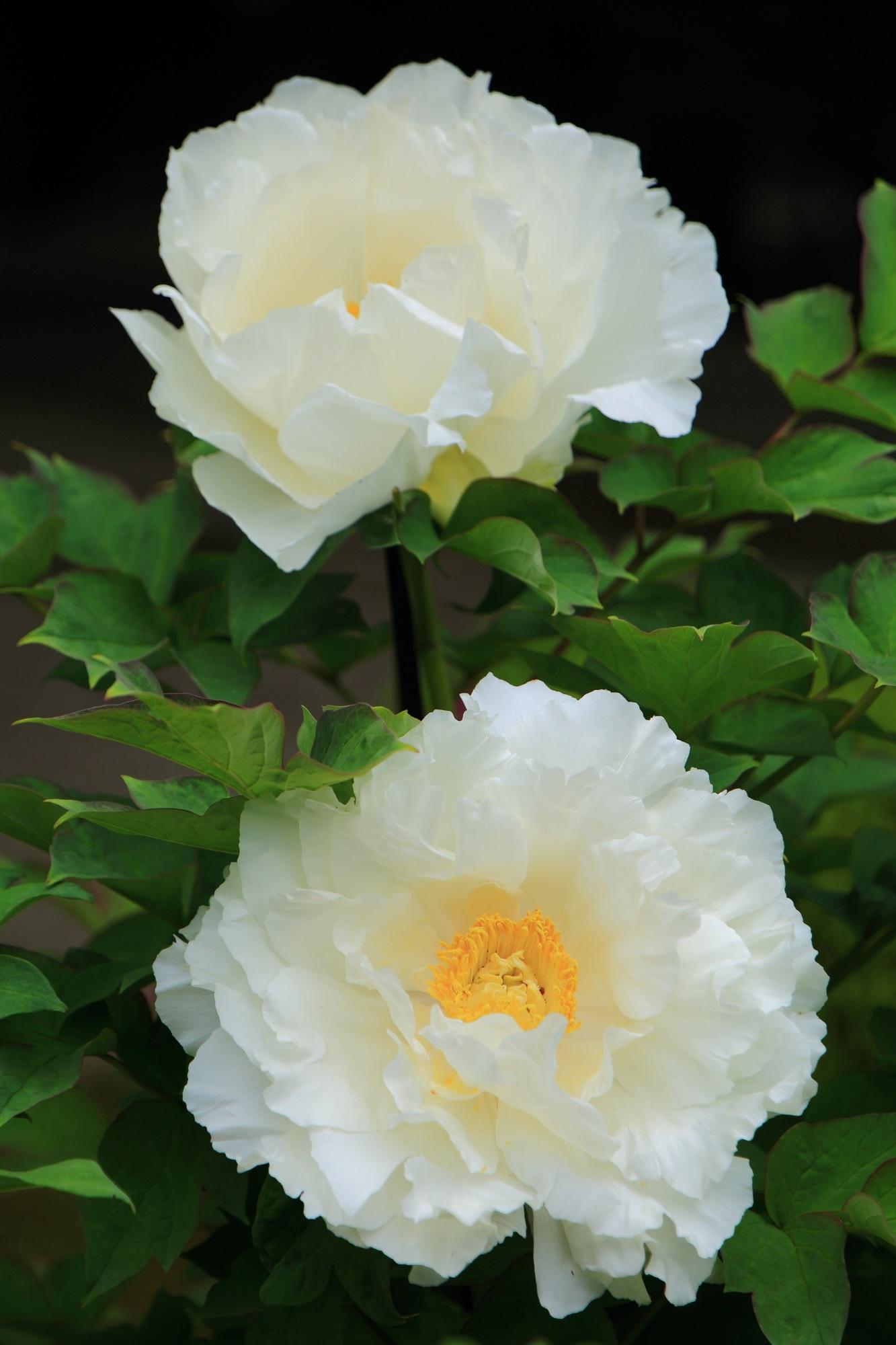 牡丹の名所の本満寺の大輪の牡丹の花