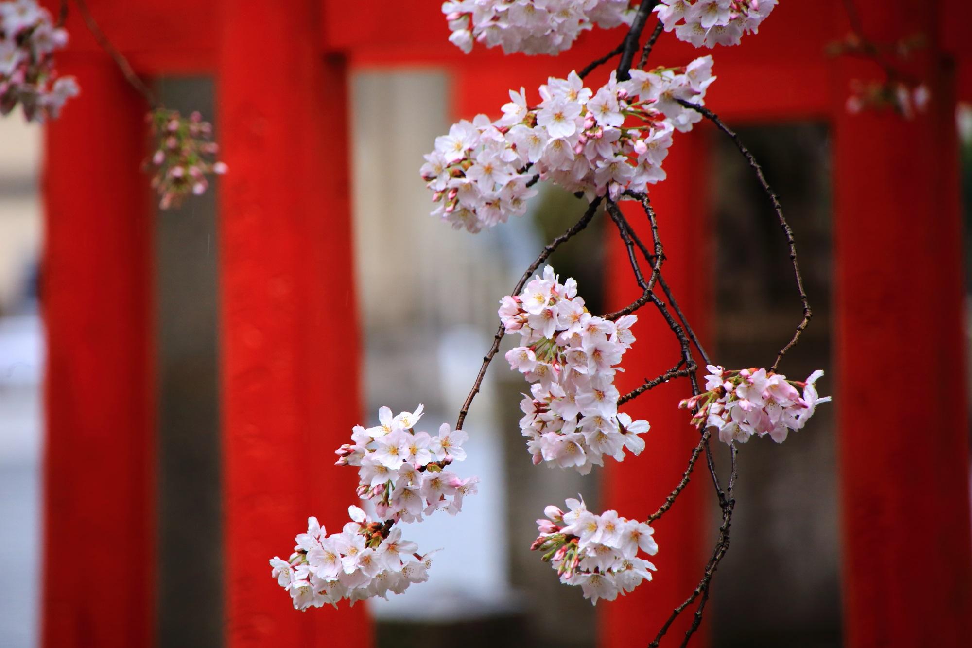 赤い鳥居に映える潤いの桜