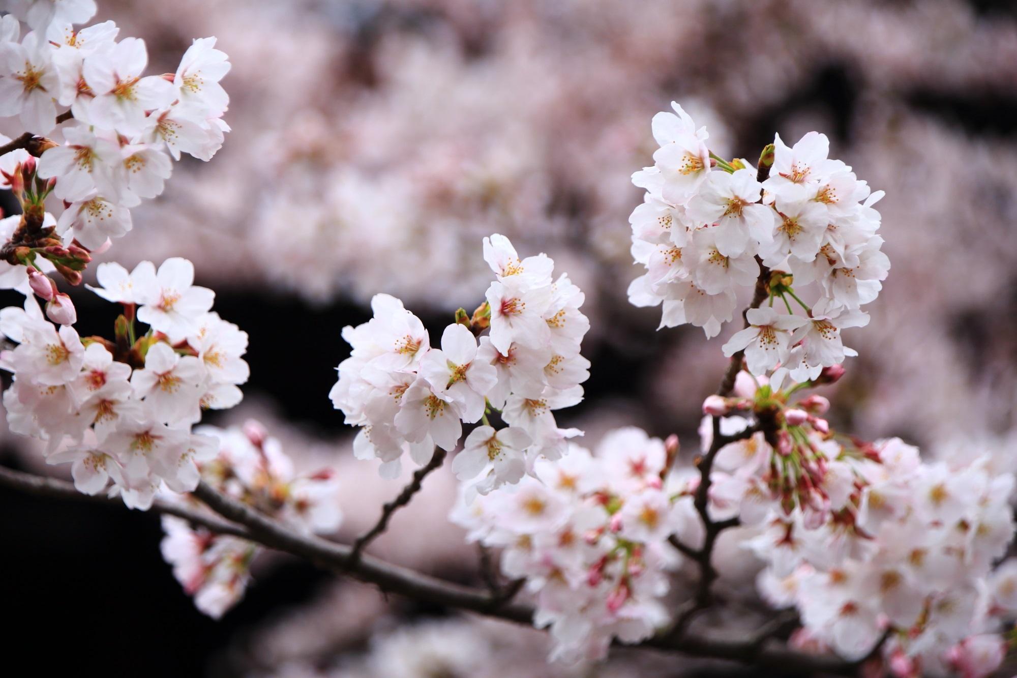 淡い春色につつまれる街中にある立本寺(りゅうほんじ)
