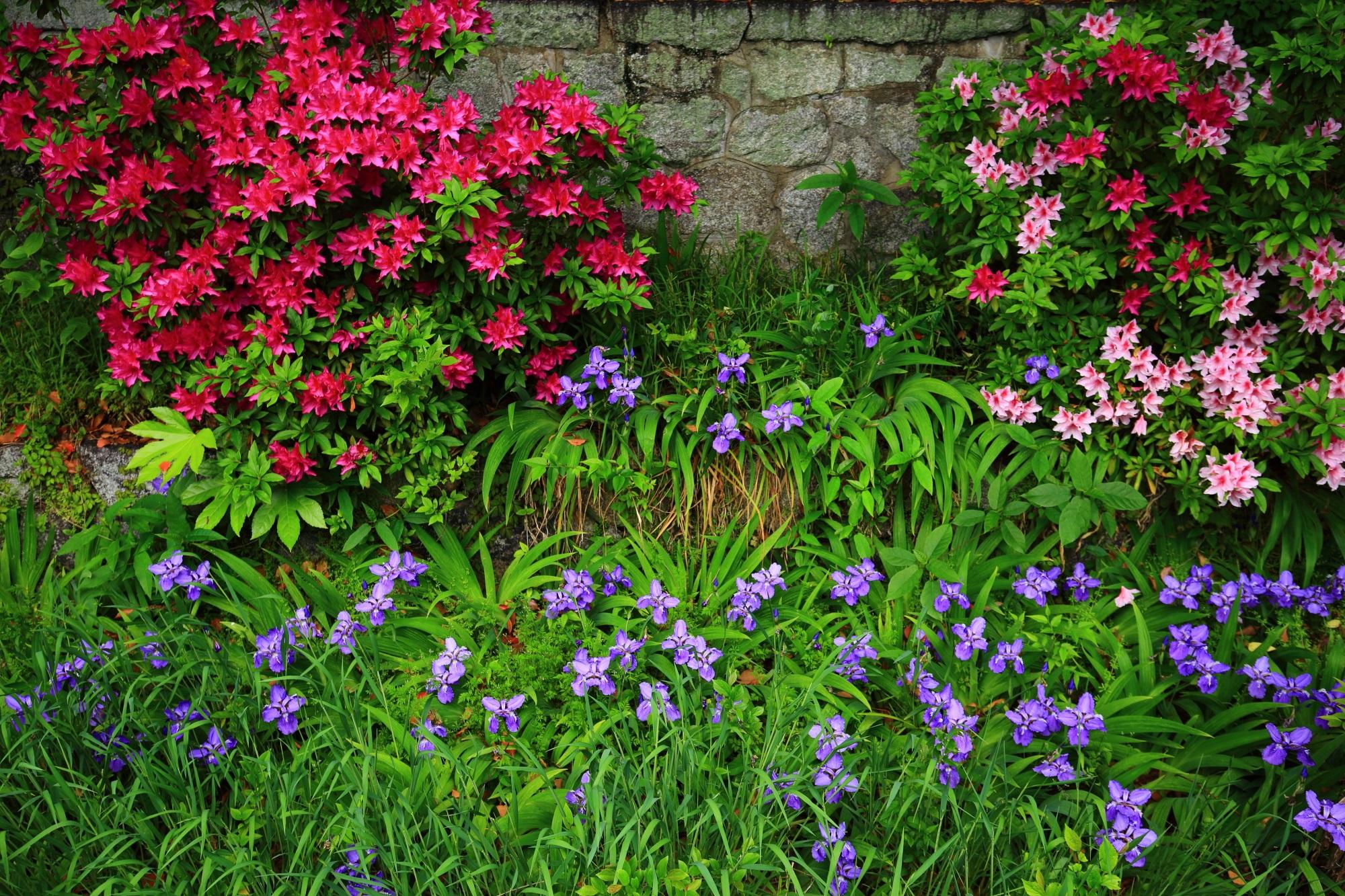上御霊神社の鮮やかなピンクや赤のツツジの花と華やかな薄紫のイチハツの花