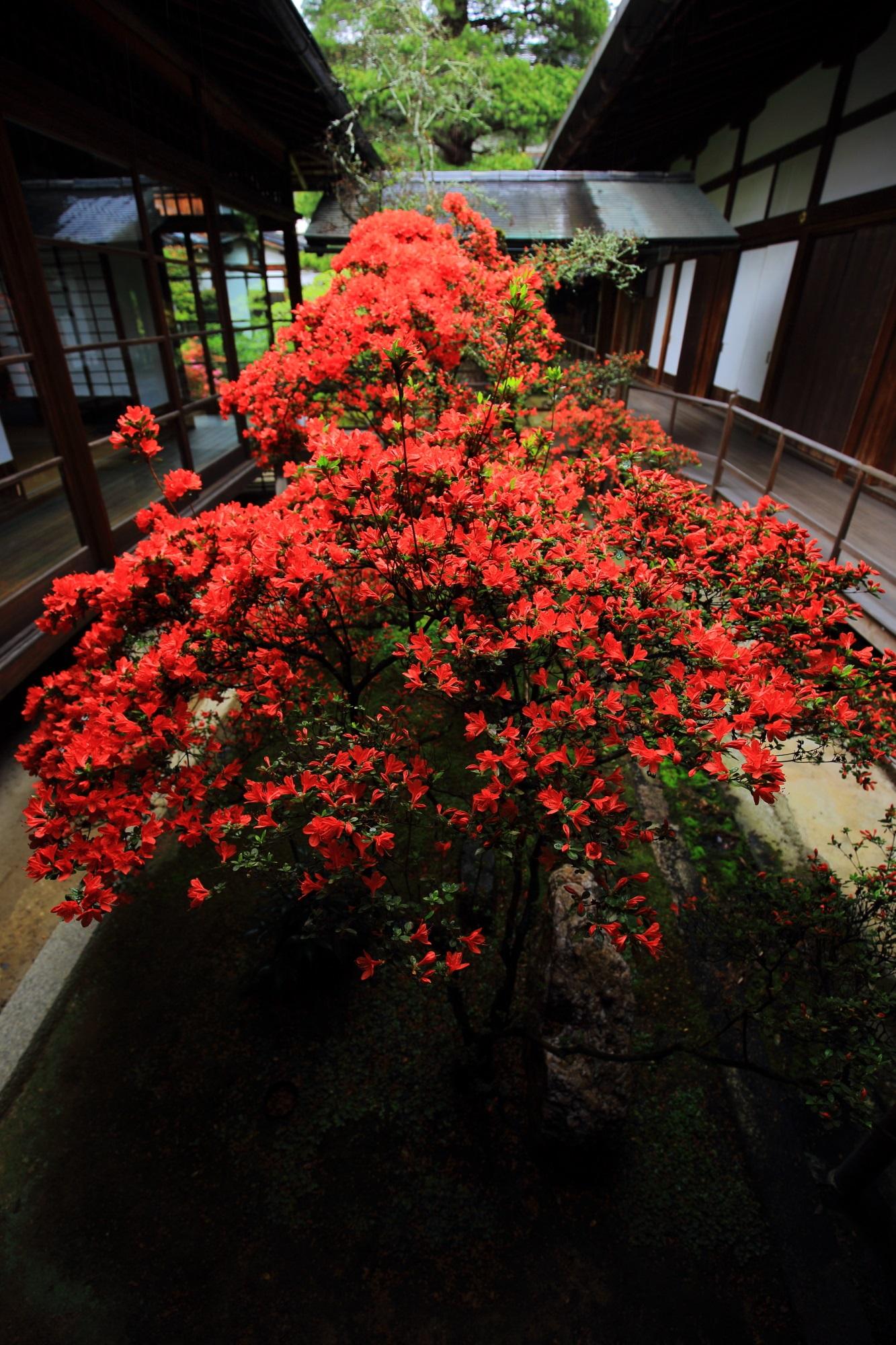 Kyoto Myosin-ji Daisin-in Temple azalea Kirishima-tsutstji
