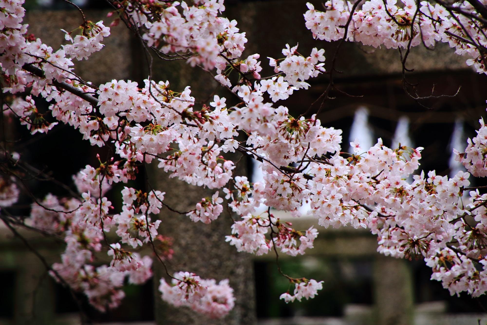 桜の穴場の妙顕寺の綺麗な桜