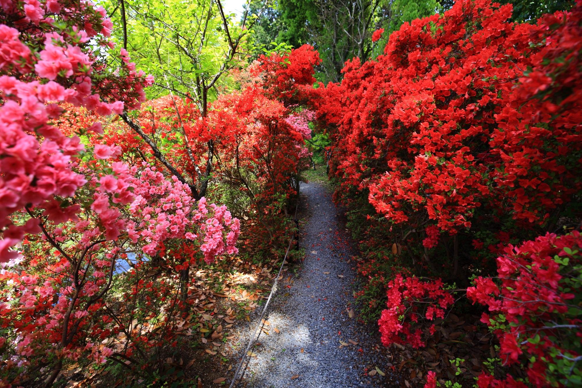 通れない位に咲く物凄いことになっている梅宮大社のツツジ