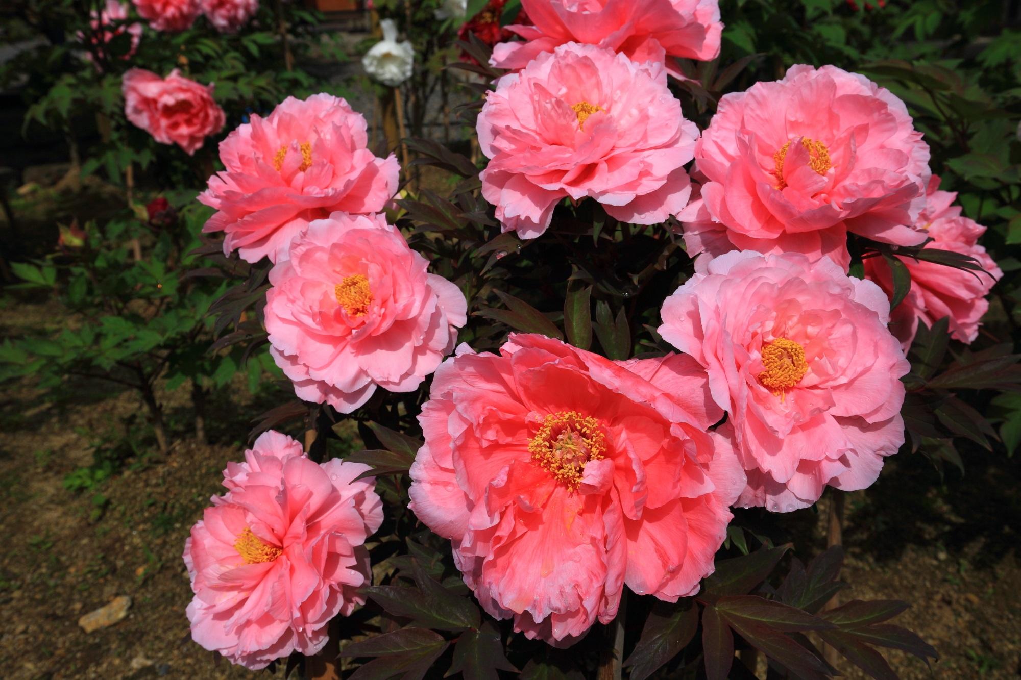 立派なピンクの大輪を咲かせる本堂前の牡丹