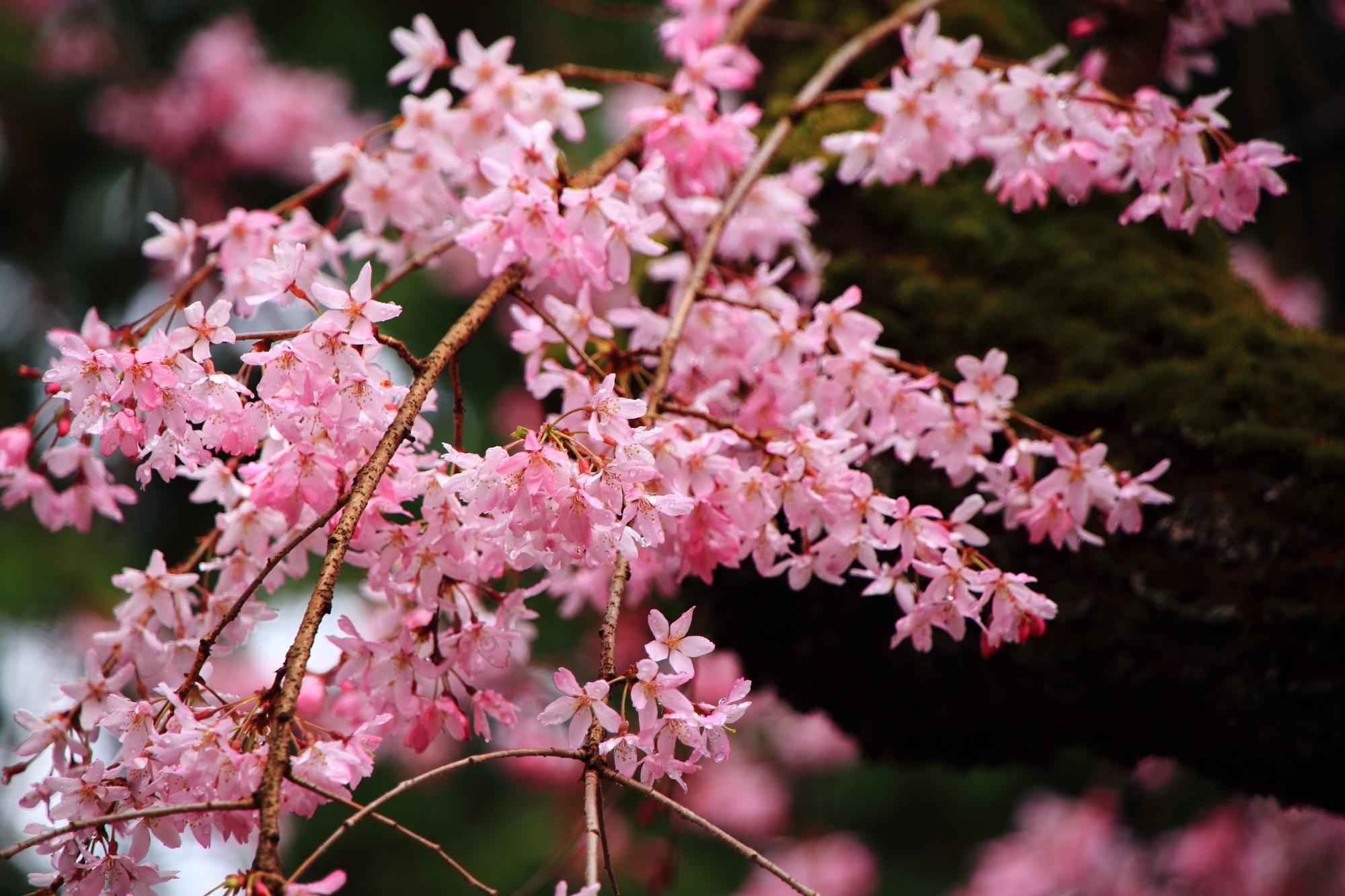 上品に咲く色鮮やかなピンクの花