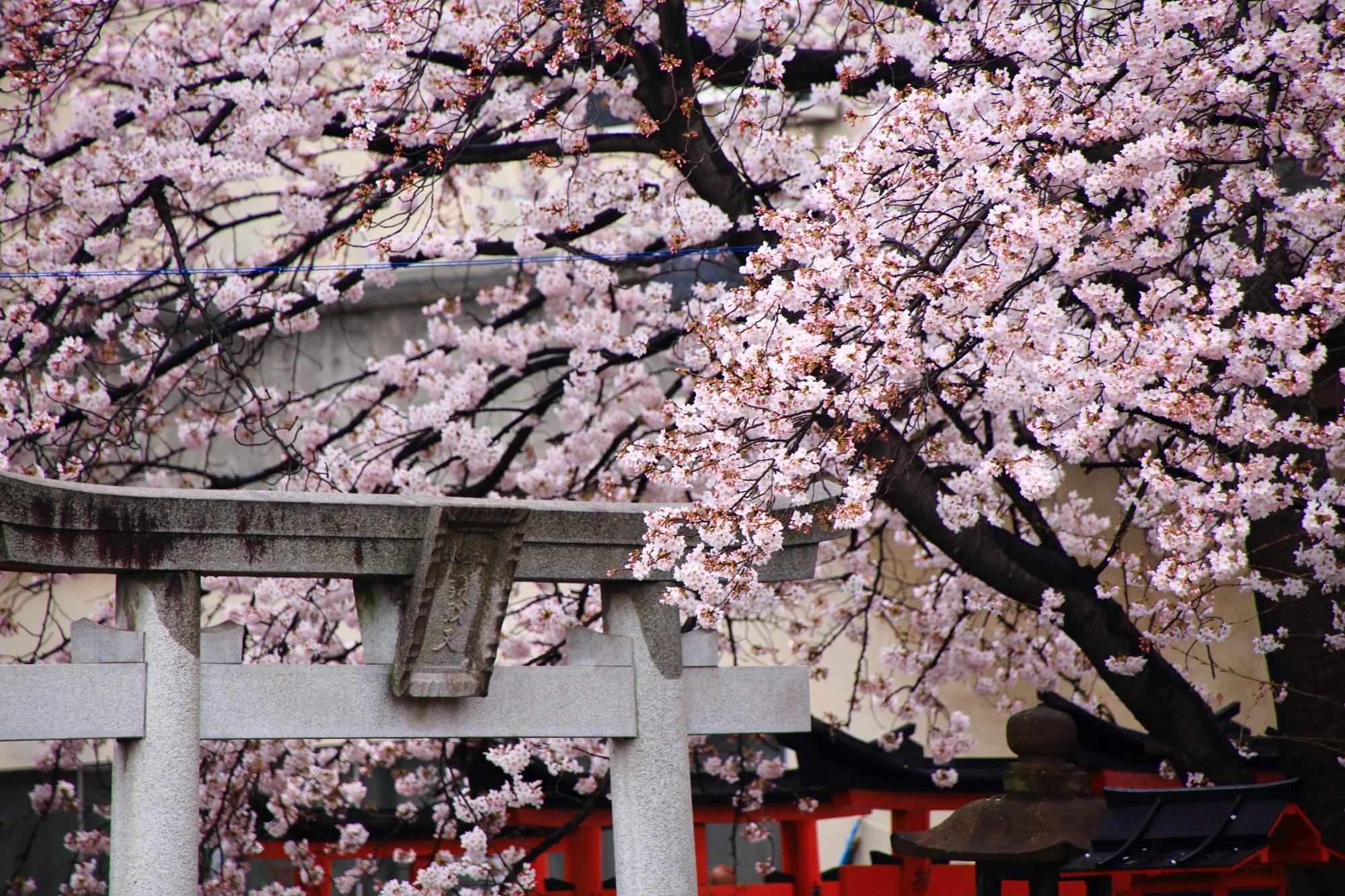 石の鳥居をつつむ咲き誇る満開の桜