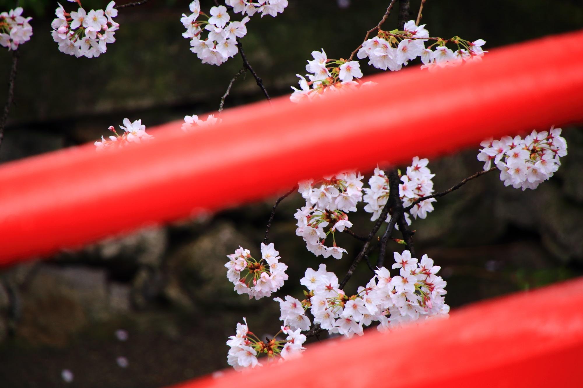 橋の赤い欄干から眺めた華やかな桜