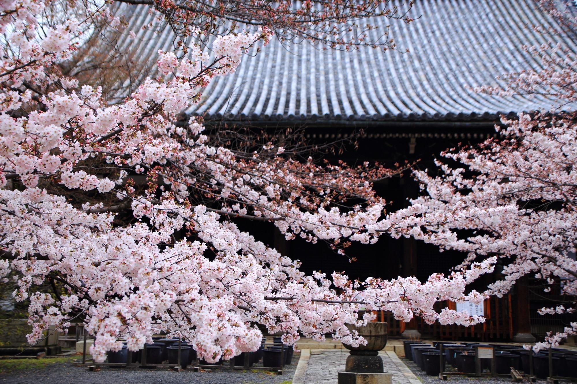 高画質 写真 立本寺 桜