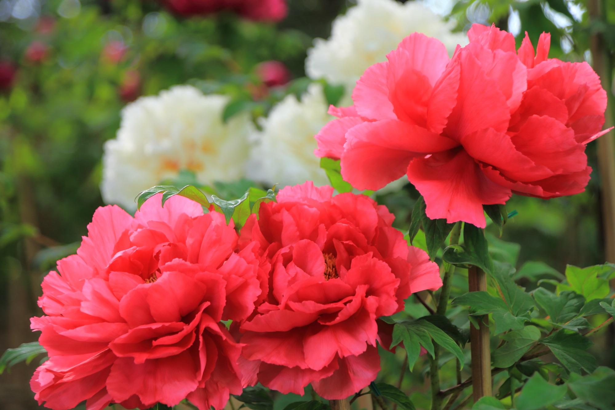 フワフワとして柔らかそうな牡丹の花