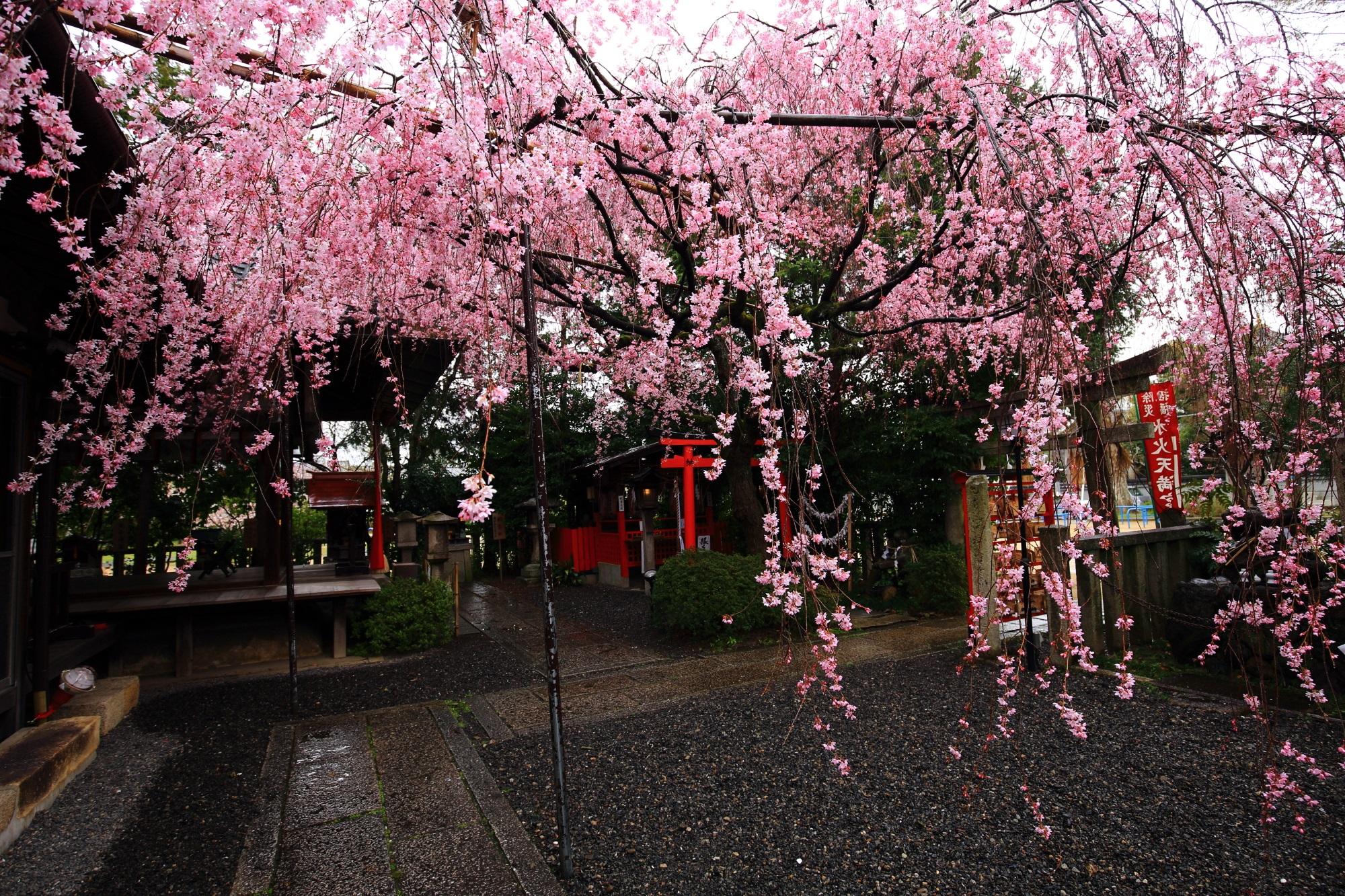水火天満宮の境内を覆いつくすような立派なしだれ桜