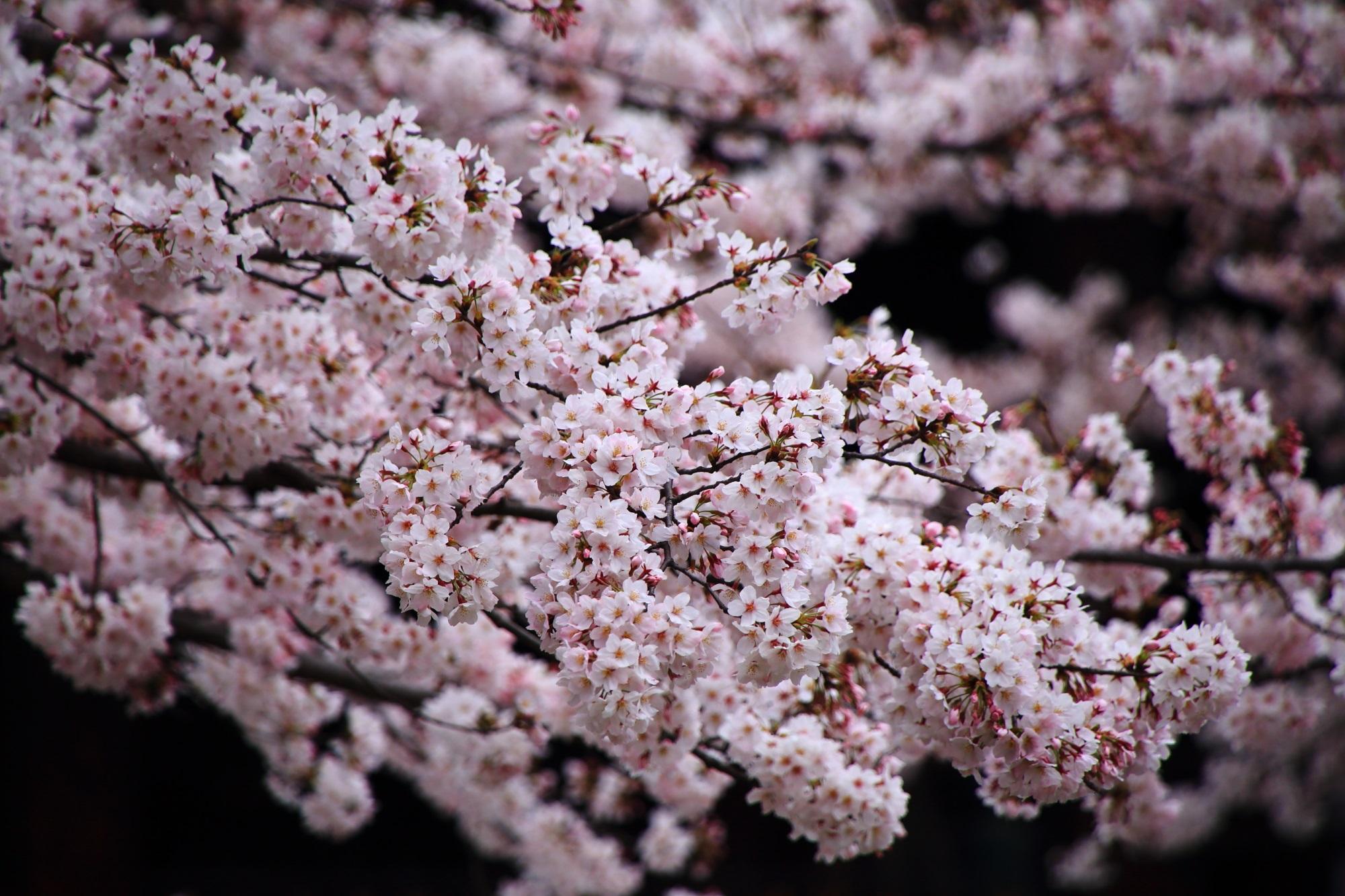 花をいっぱいにつけて弾けんばかりに咲き誇る満開の桜
