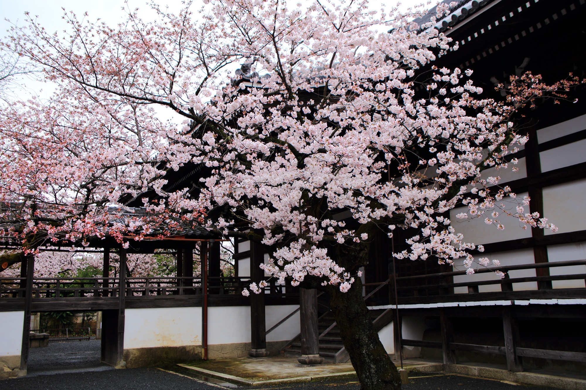 桜の穴場の妙顕寺の本堂裏の華やかな桜