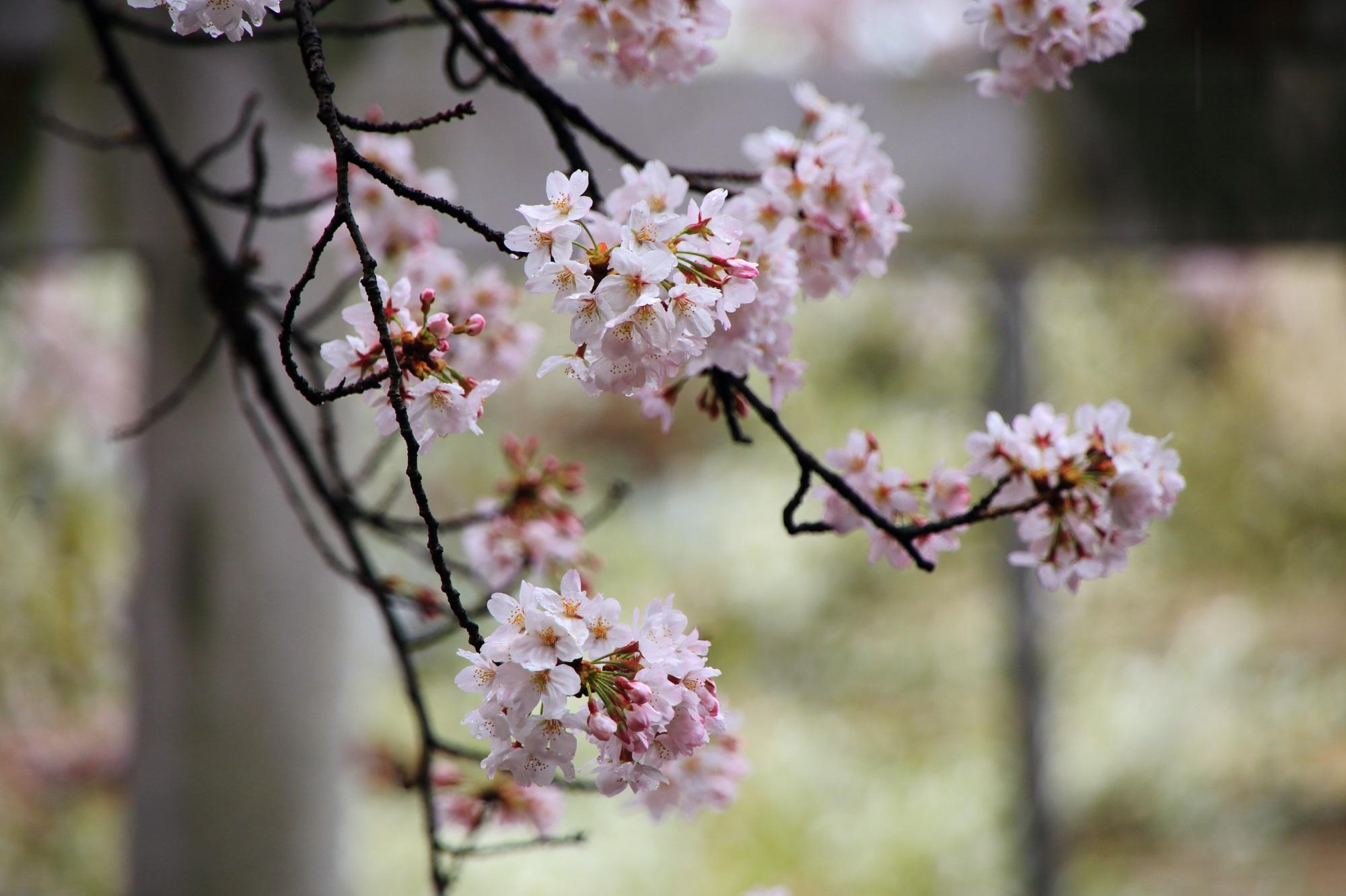 ほのかな春色につつまれる六孫王神社(ろくそんのうじんじゃ)