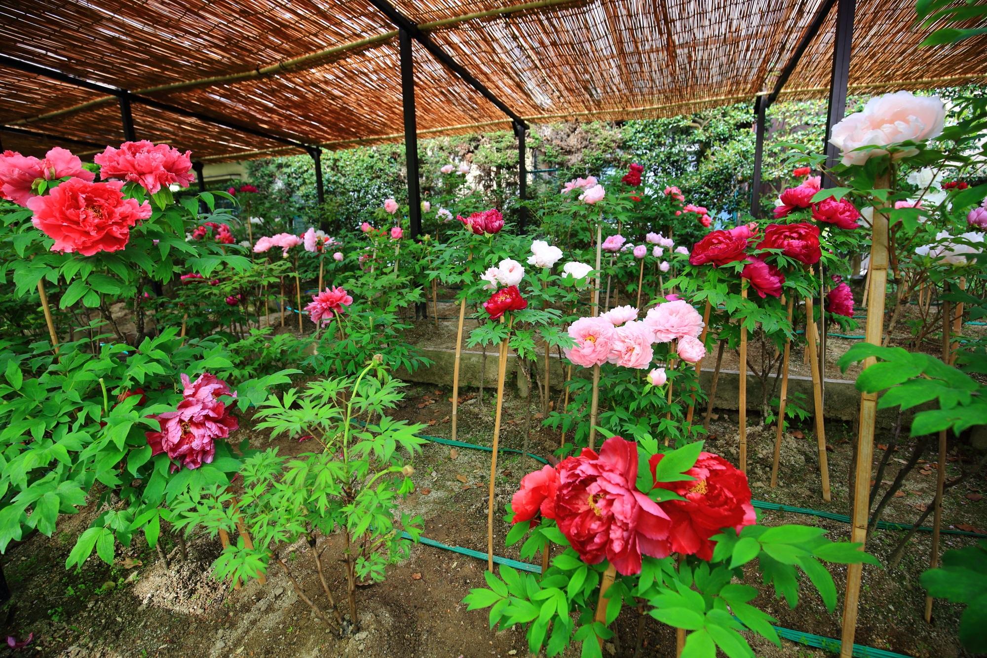 乙訓寺の咲き誇る色とりどりの牡丹の花