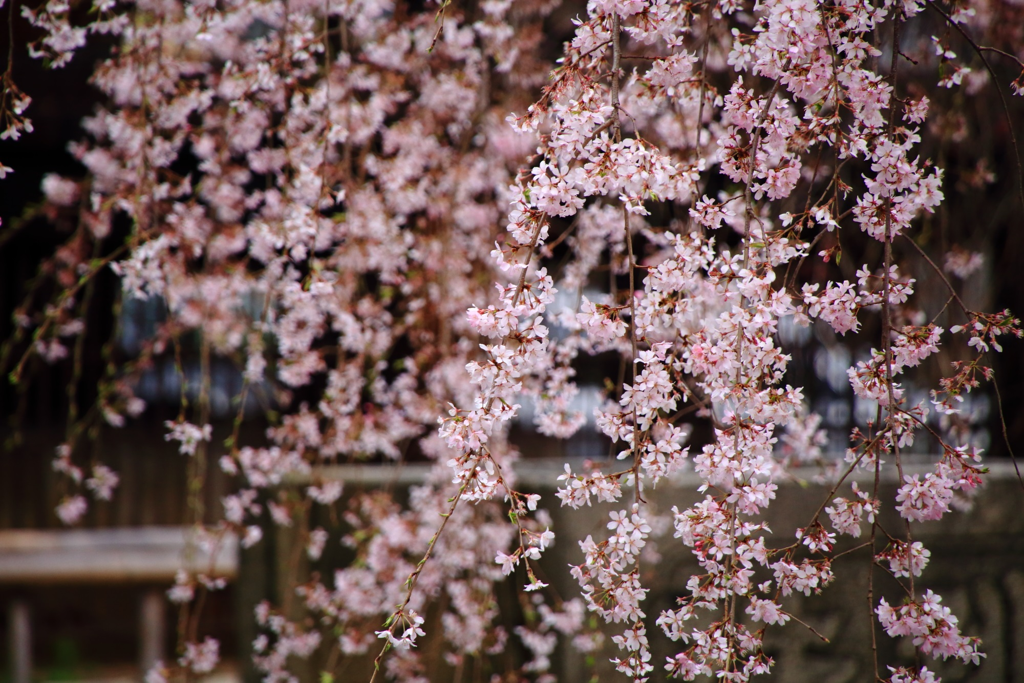 春風にそよぐ可憐なピンクの花